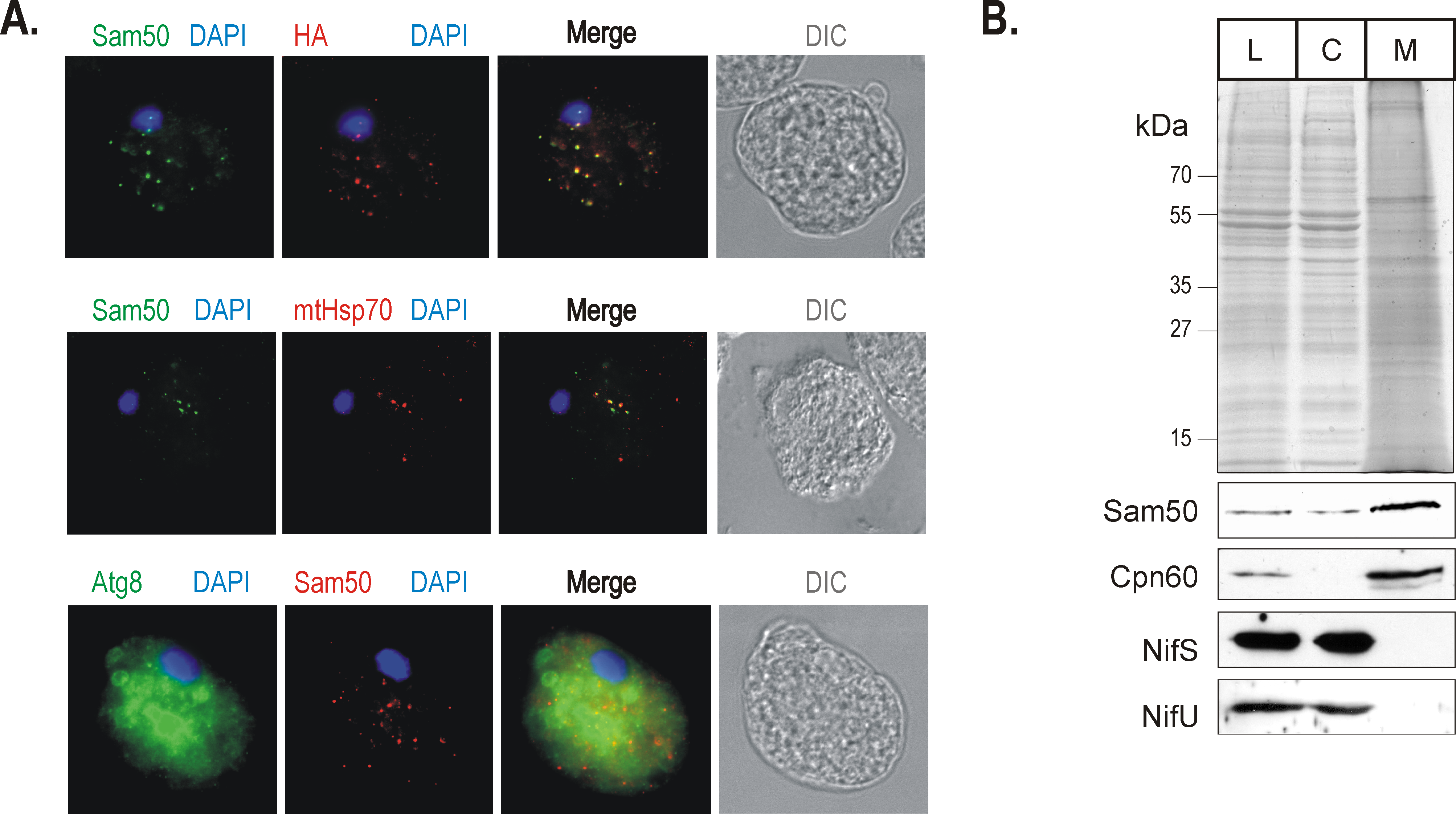 Sam50 is confined to the mitosomal vesicles uniformly distributed through the cytoplasm.