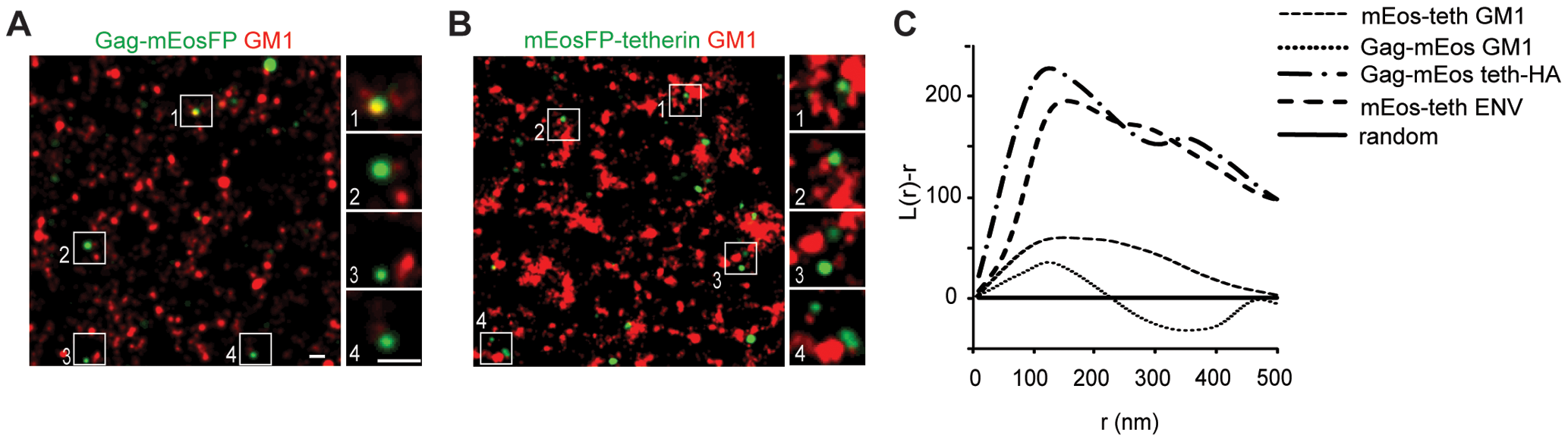 Tetherin domains and HIV-1 budding sites do not overlap with GM1 containing lipid rafts.