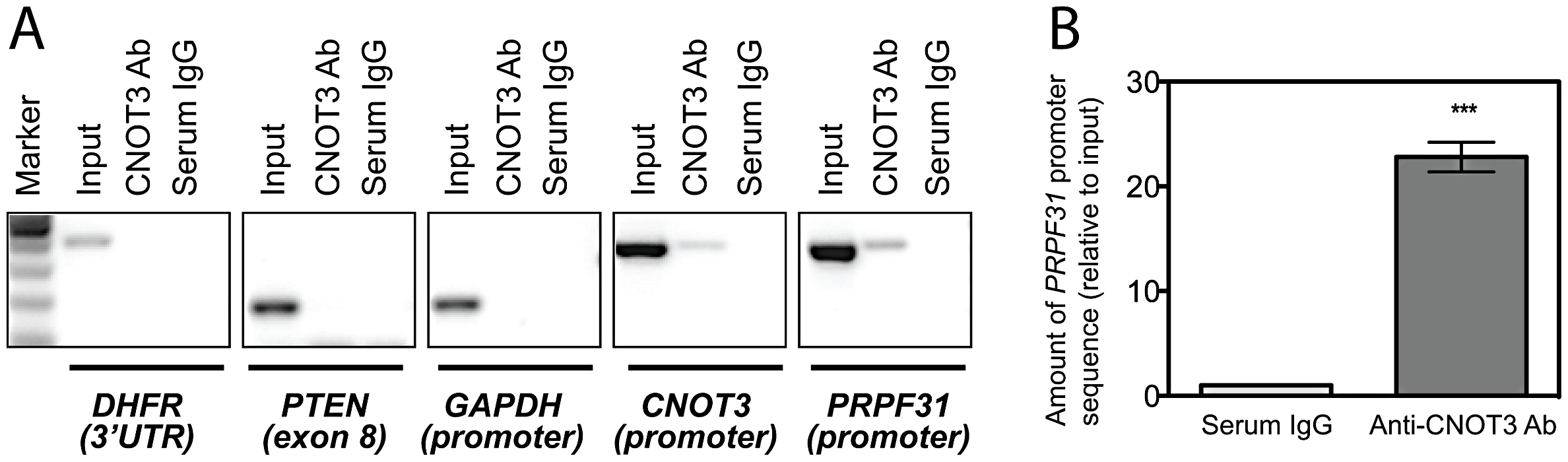 CNOT3 binds to the <i>PRPF31</i> promoter in cells.