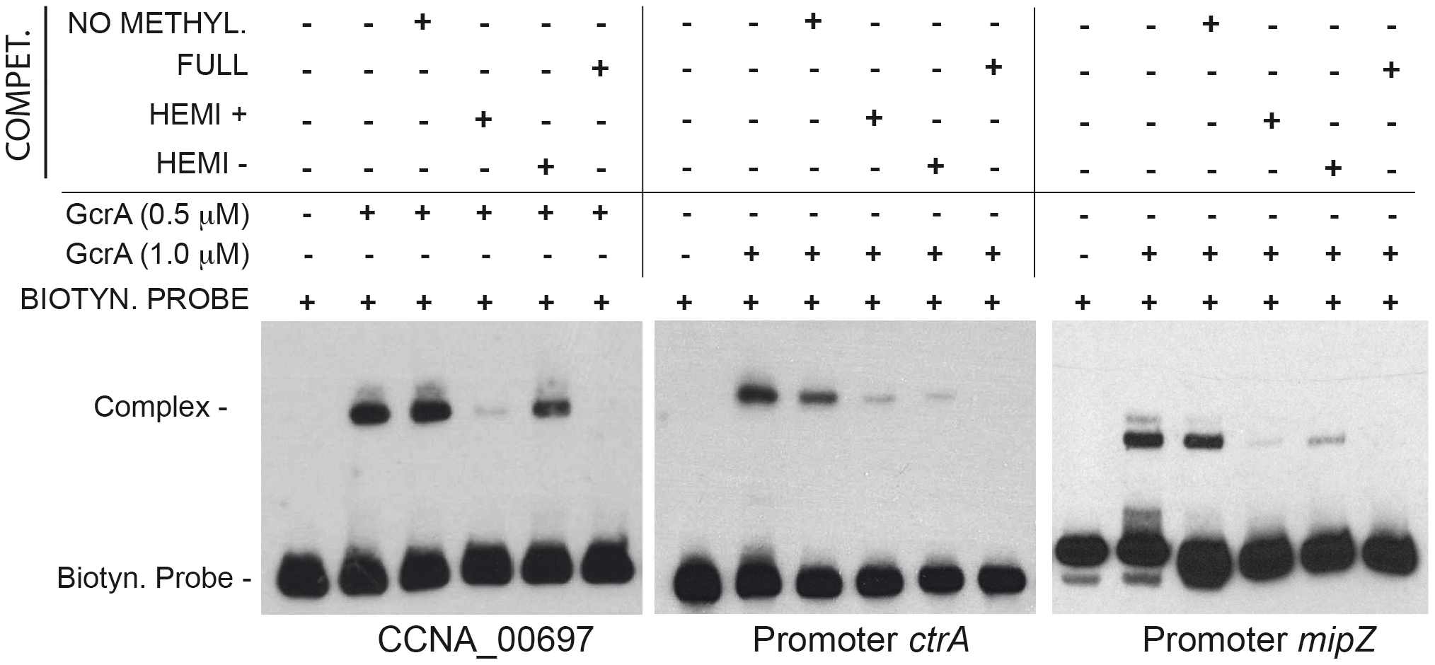 GcrA DNA binding depends on CcrM methylation state.
