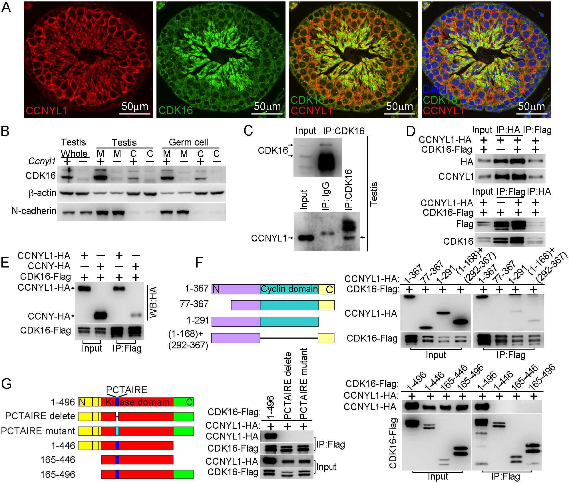 Interaction of CCNYL1 with CDK16.