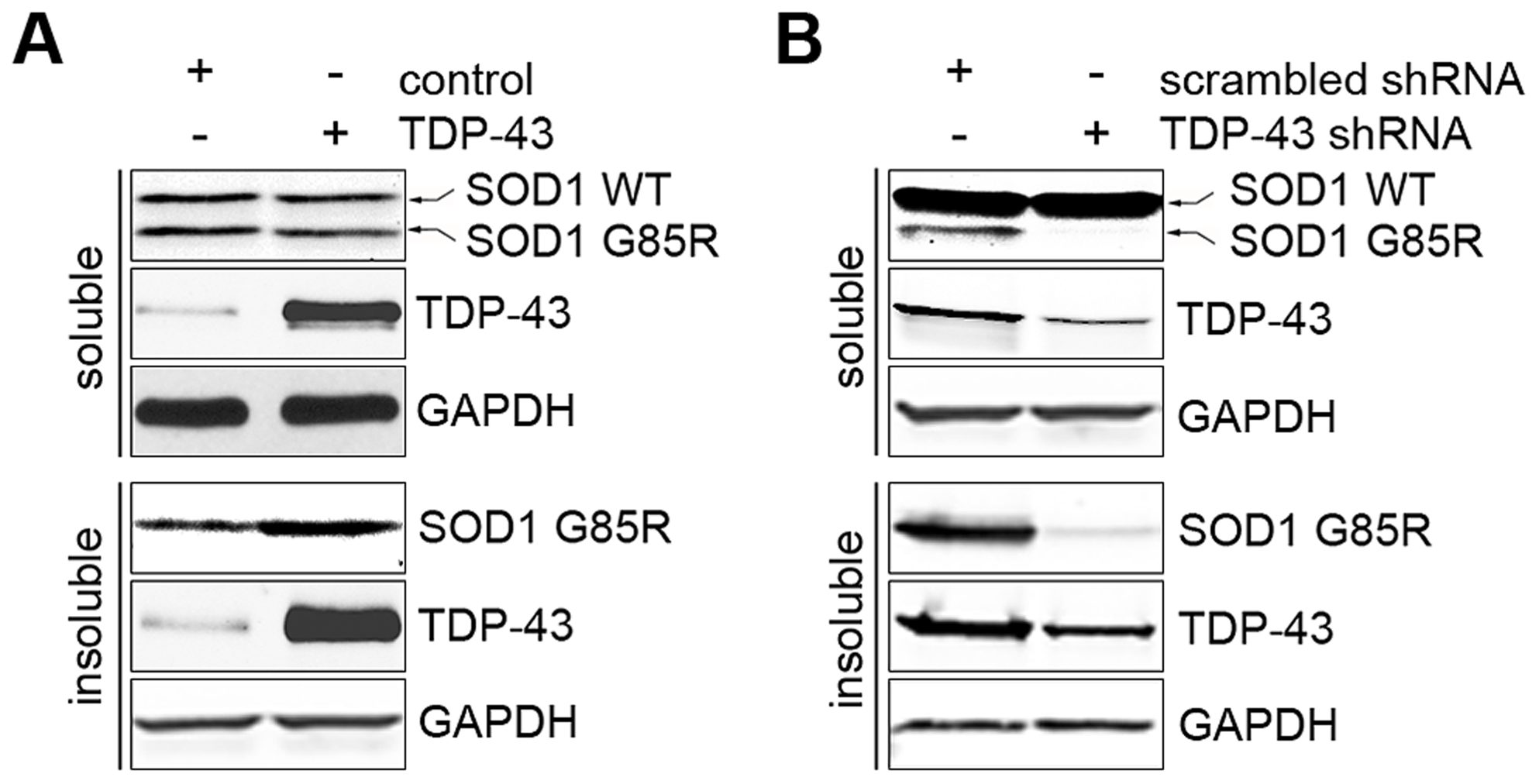TDP-43 regulates levels of misfolded proteins.