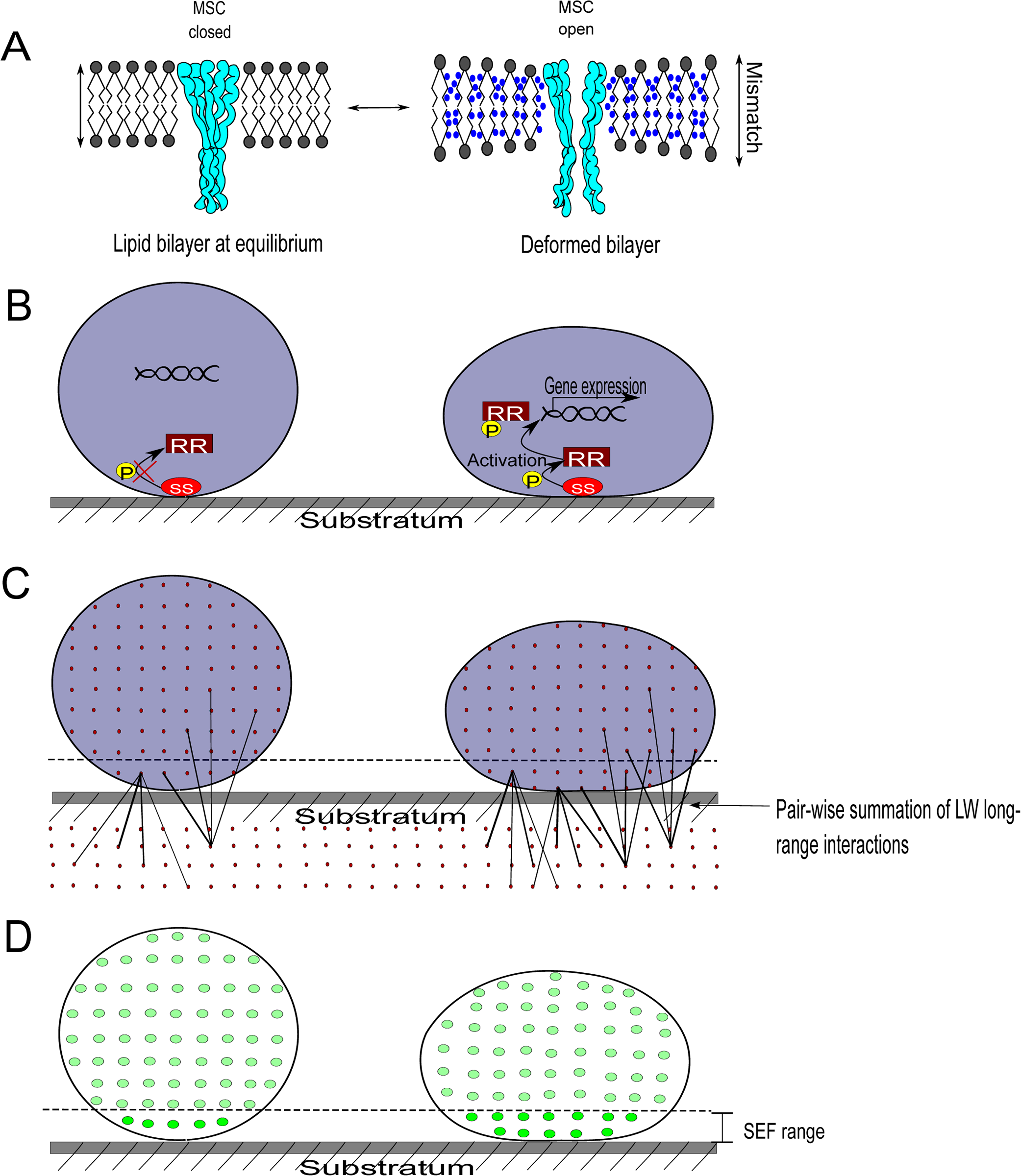 Bacterial cell wall deformation, mechanosensing, and the measurement of cell wall deformation using surface enhanced fluorescence.