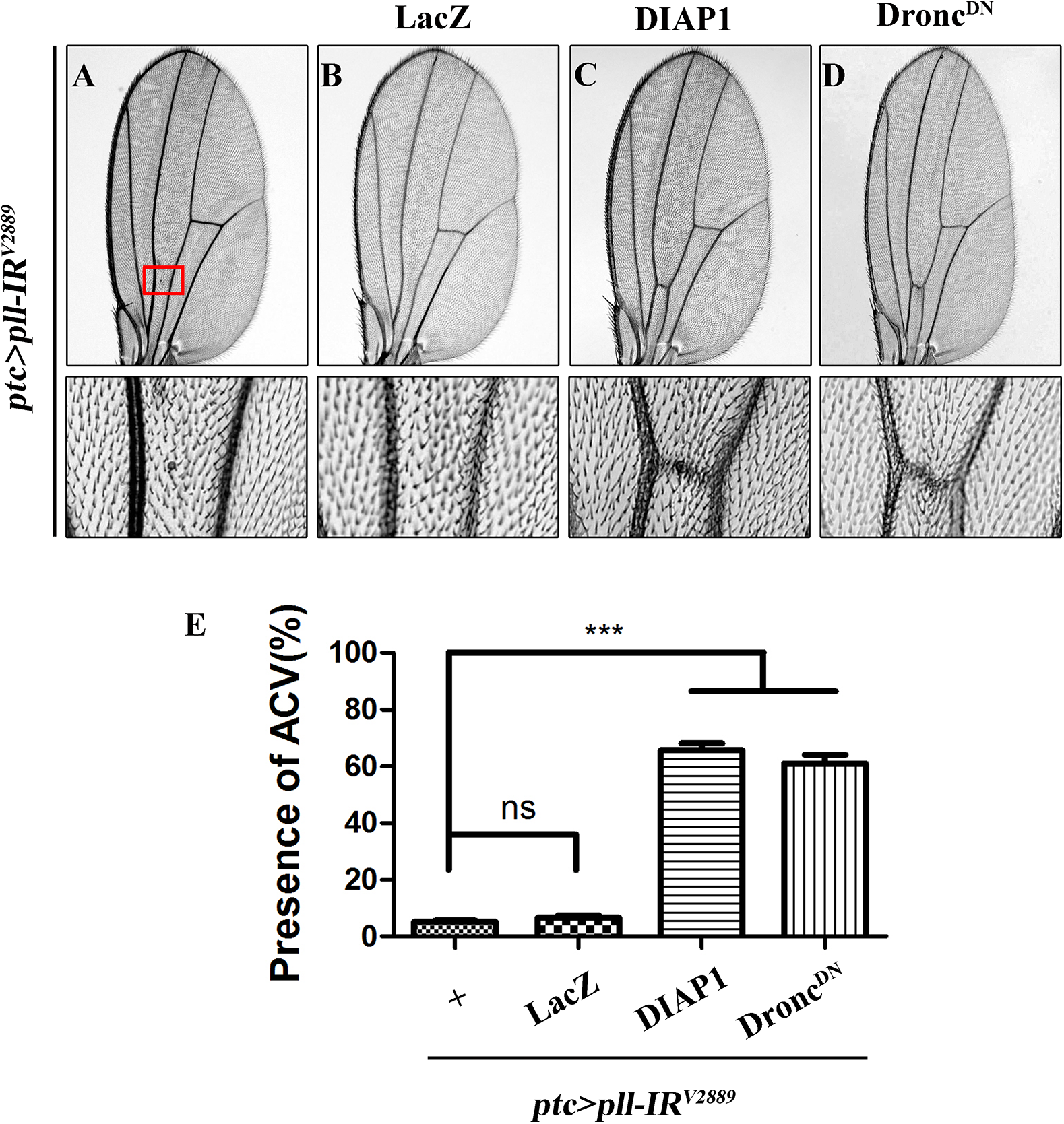 Depletion of <i>pll</i> elicits caspases-dependent cell death in adult wing.