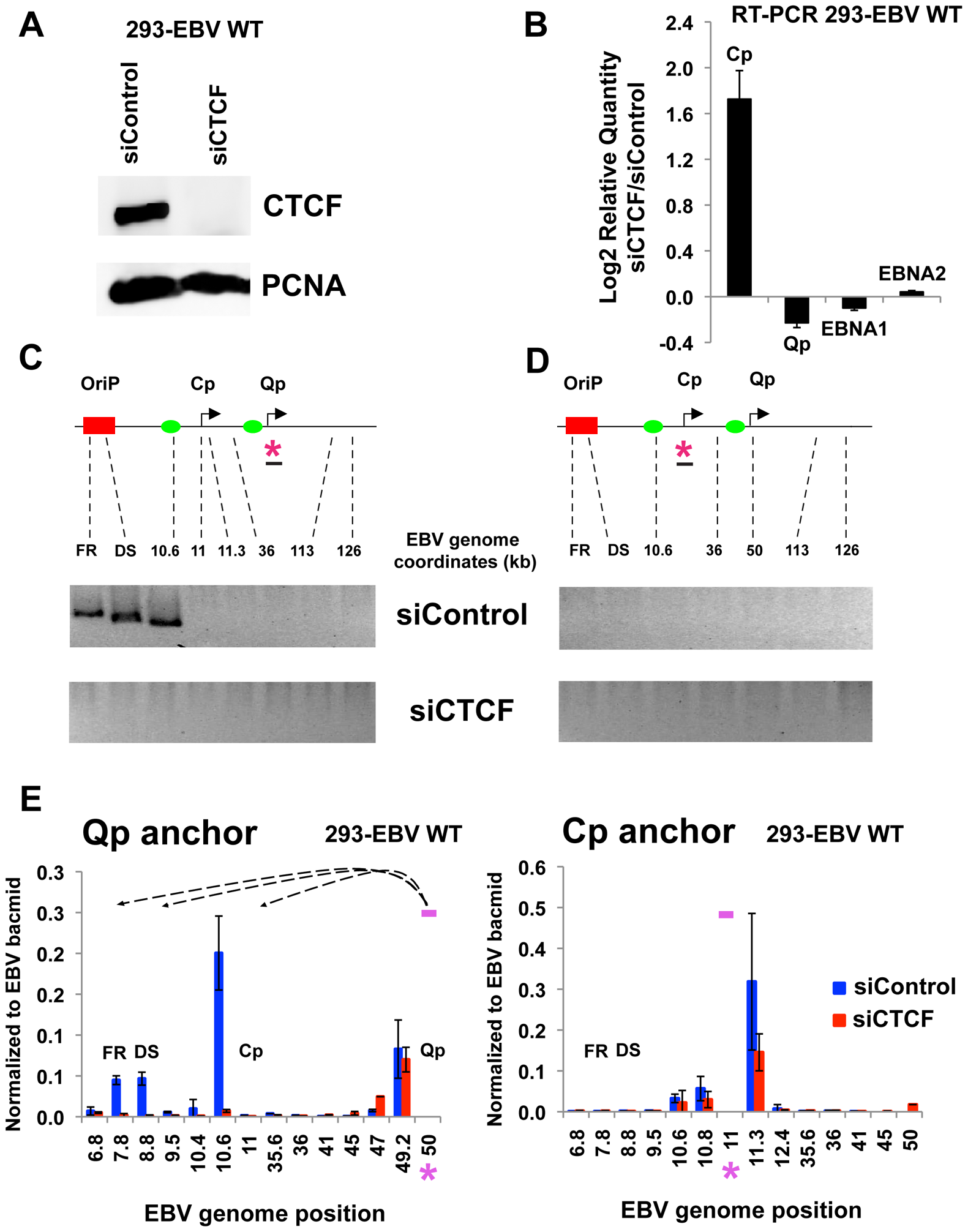 CTCF siRNA depletion disrupts chromatin architecture of EBV.