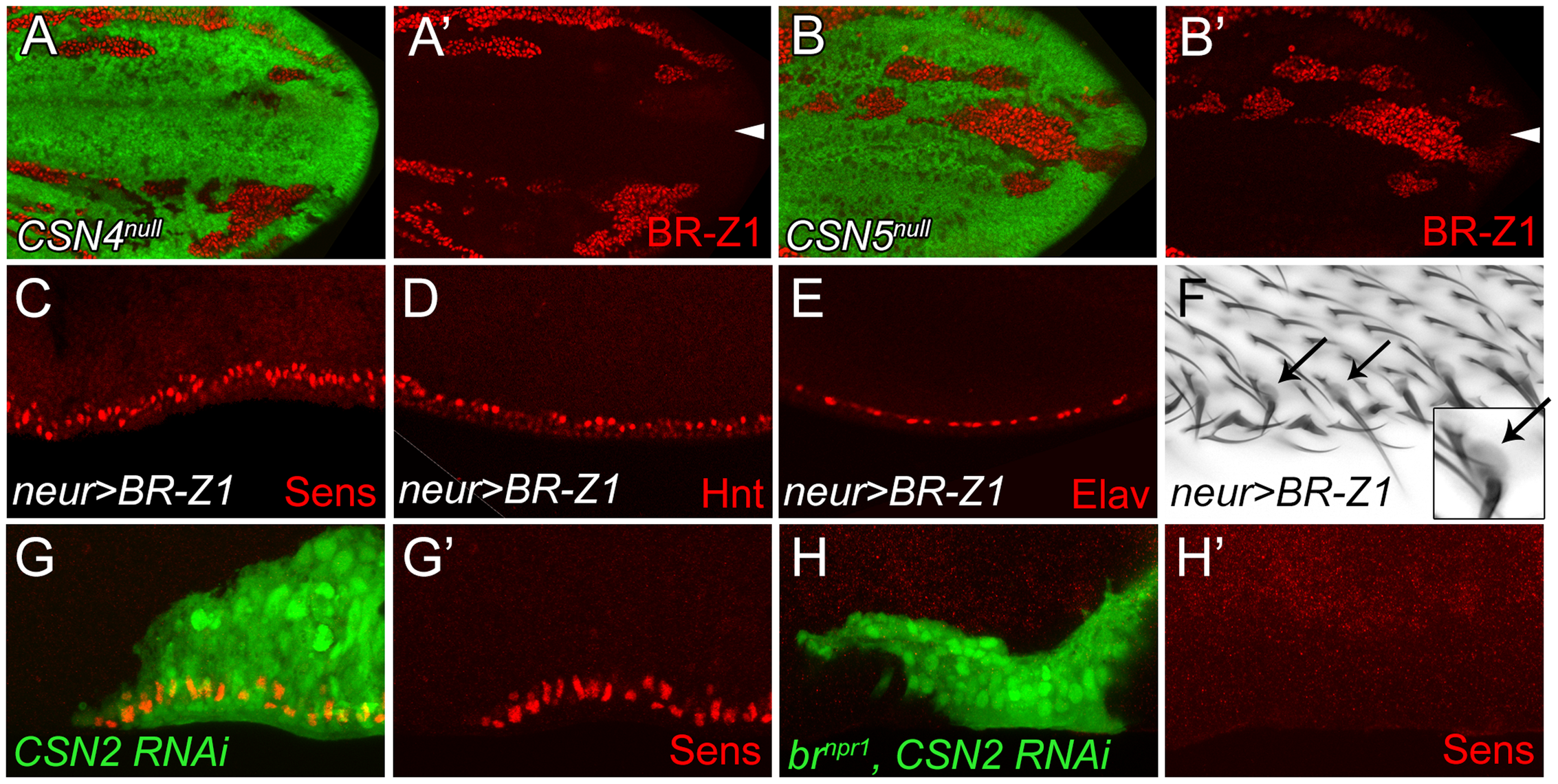 BR-Z1 upregulation is required for Sens upregulation at the PWM of <i>CSN</i> mutants.
