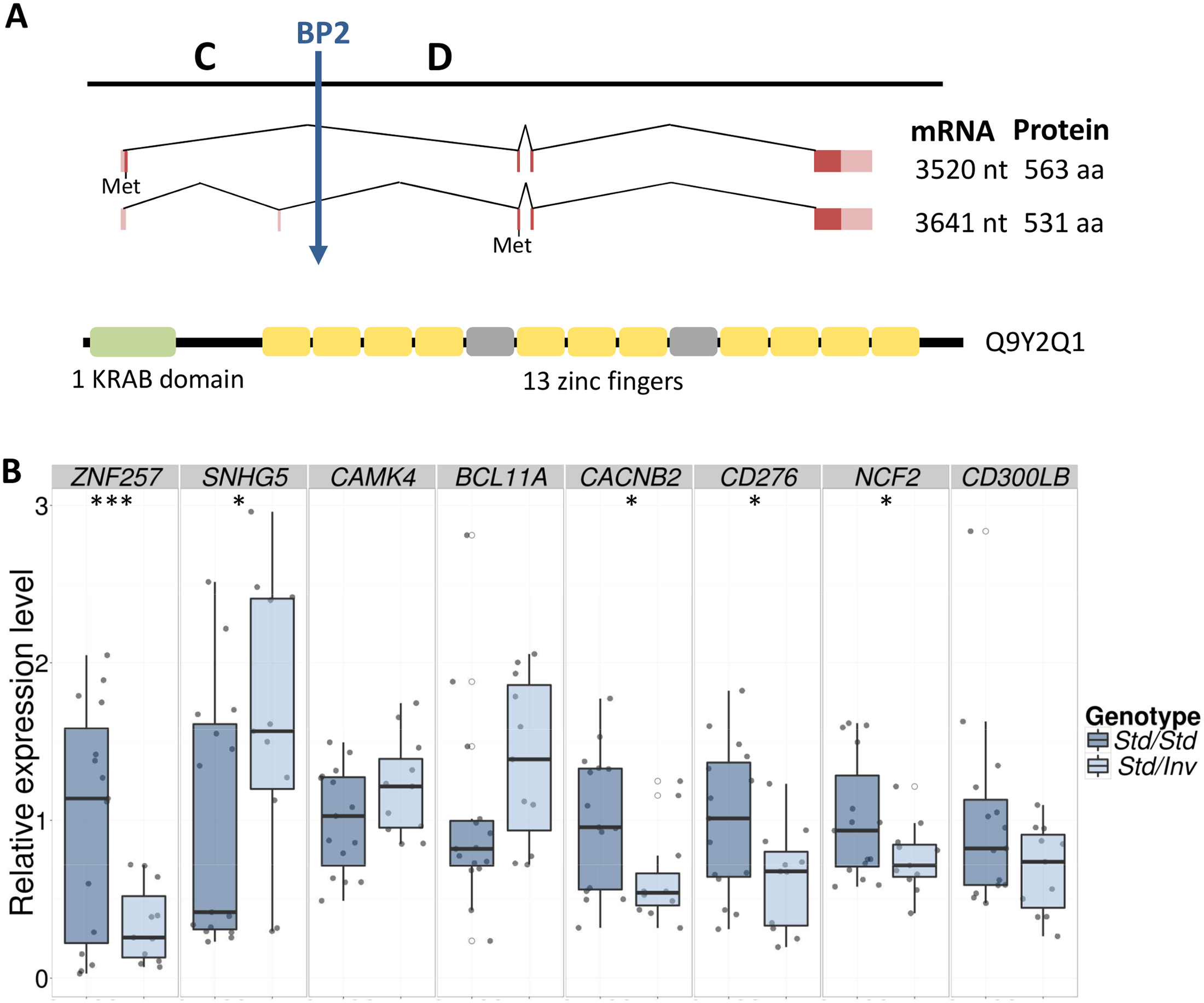 <i>ZNF257</i> gene structure and expression changes in inversion carriers.
