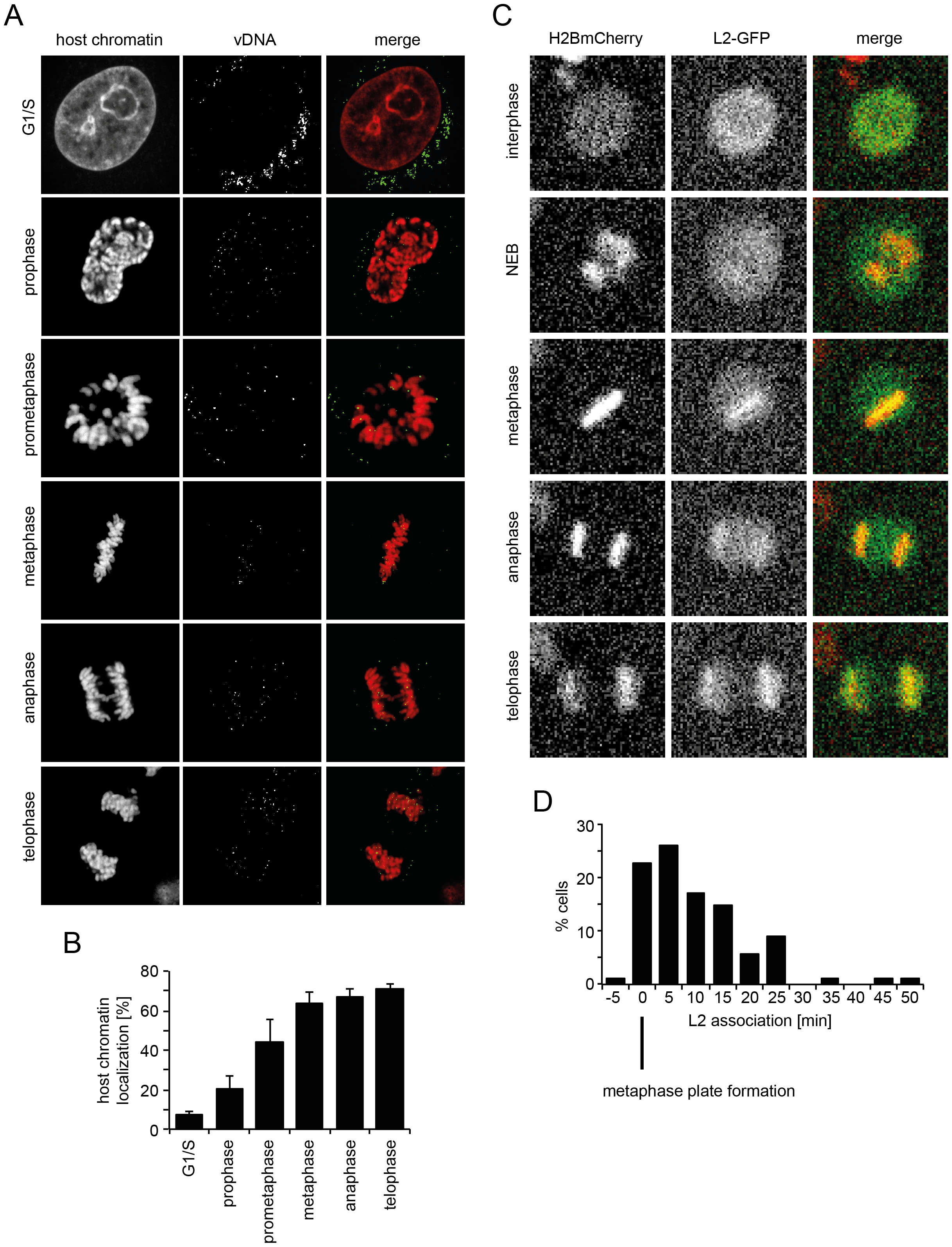 vDNA and L2-GFP associate with mitotic chromosomes.