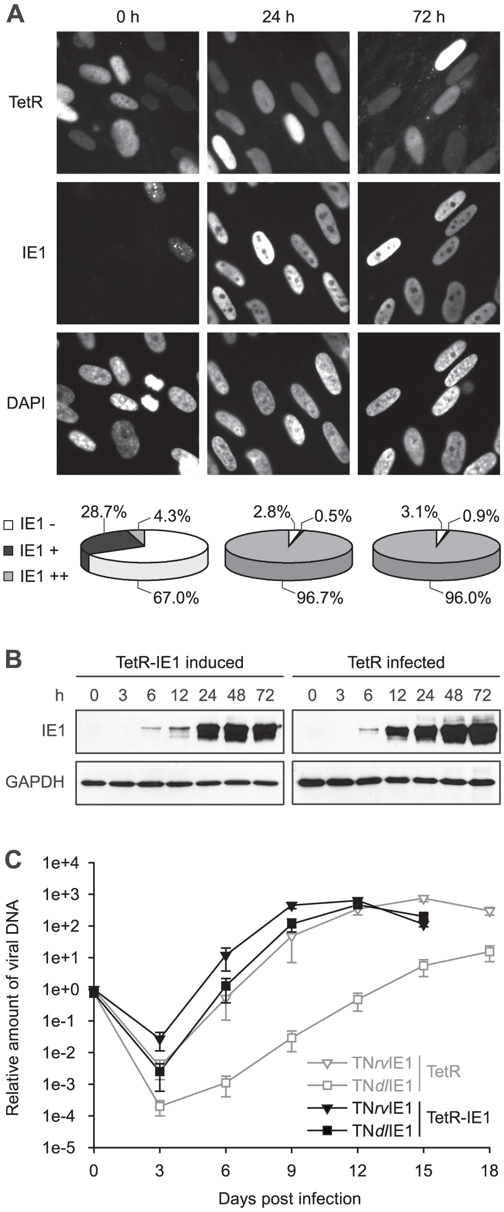 Characterization of TetR-IE1 cells.