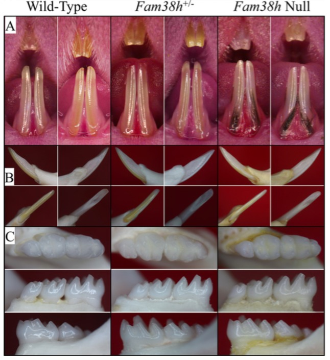 Figure 4.  Photos of Mouse Dentitions at 7 weeks. A: Frontal views of incisors. The teeth from all three genotypes look very similar, with no signs of enamel chipping. The null mice have black coat hair stuck in the gingival crevice, which relates to the hair phenotype. B: Going clockwise from upper left: lateral, medial, lingual, labial views of the mandibular incisor. C: Occlusal, lingual, and buccal views of the mandibular incisors. All phenotypes show normal crown morphology, smooth, lusterous enamel without evidence of attrition.