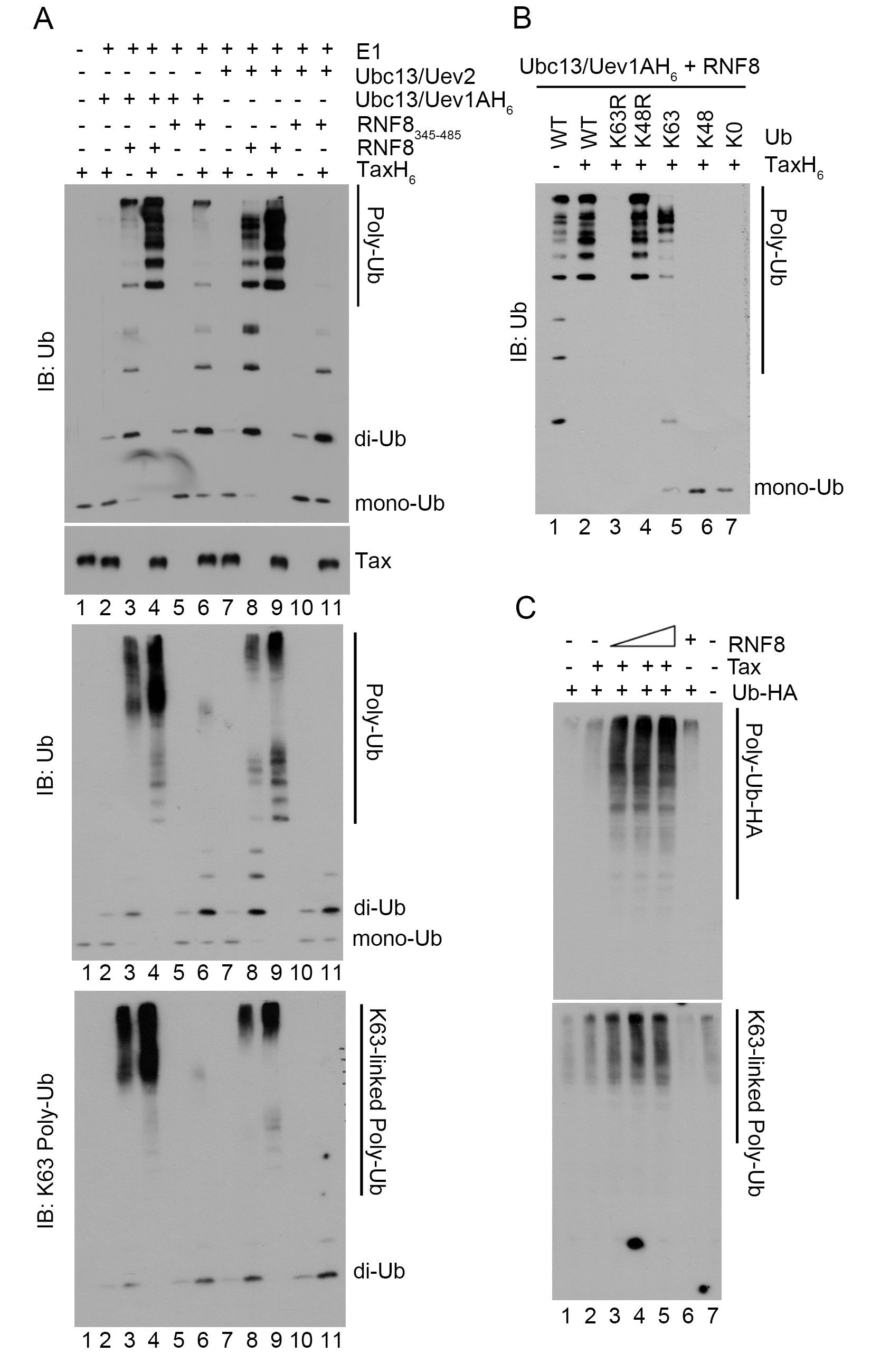 Tax stimulates RNF8 and Ubc13:Uev1A/2 to assemble long K63-pUb.