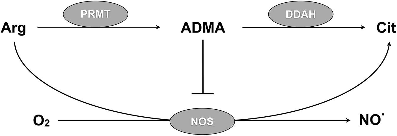 DDAH regulates NO synthesis via ADMA metabolism.