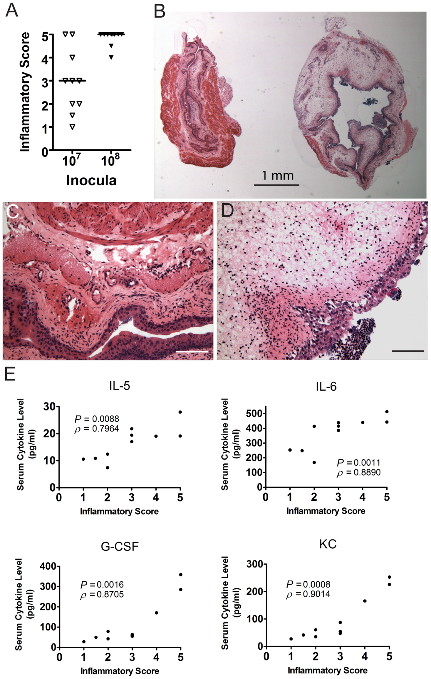 C3H/HeN mice that develop chronic cystitis have severe bladder inflammation at 24 hpi.