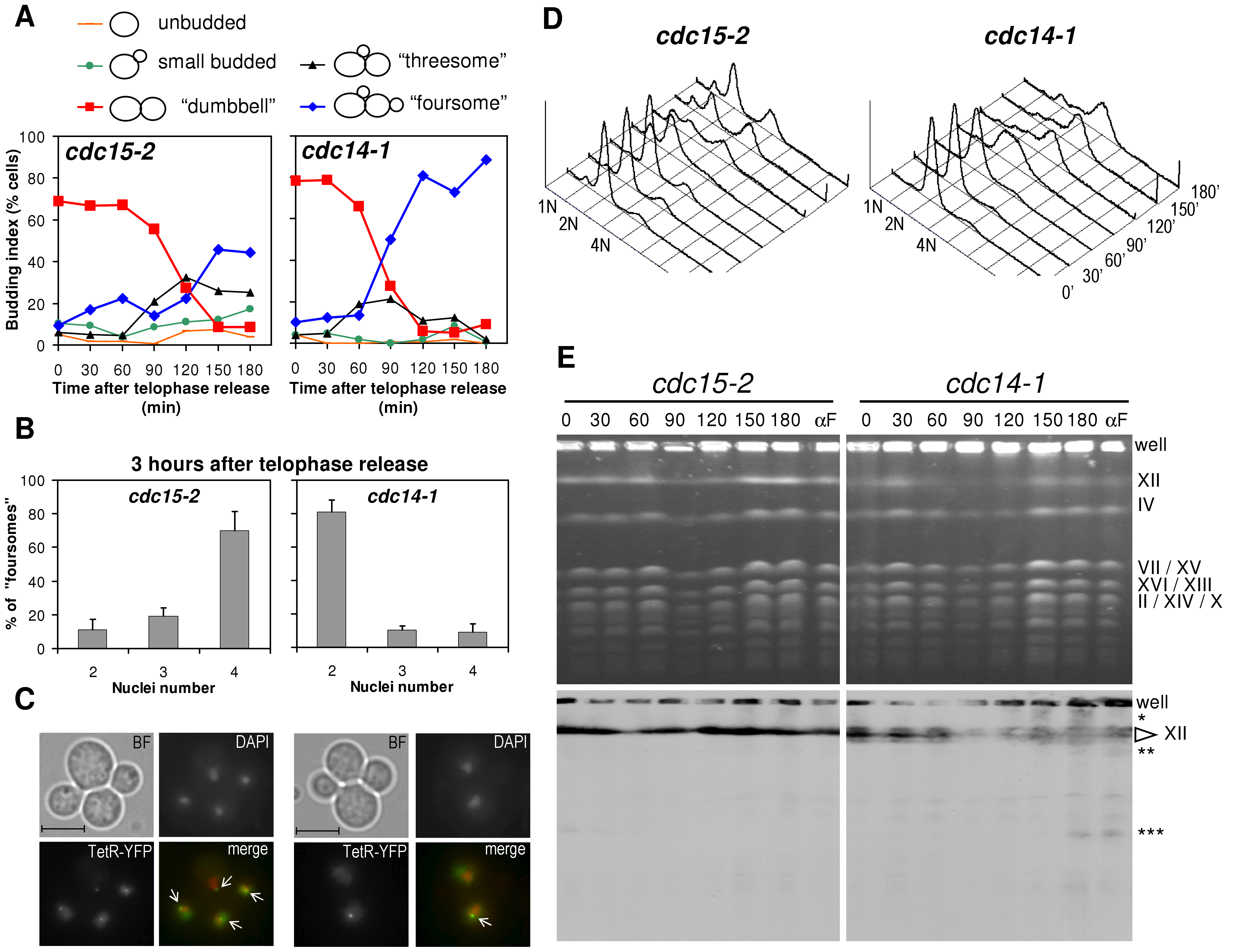 Cells arrest in G2 after a <i>cdc14-1</i> release with chromosome XII integrity compromised.