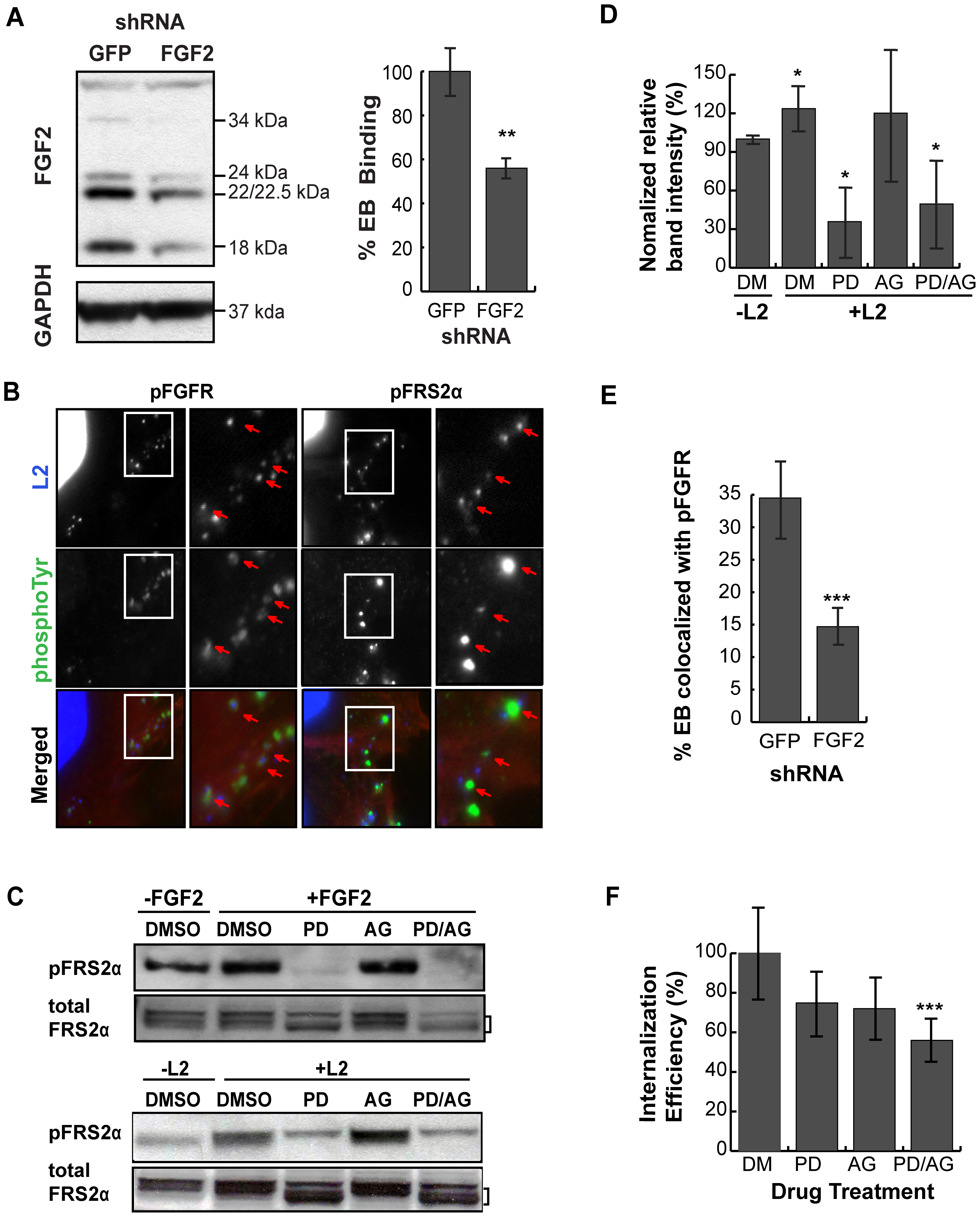 Cell associated FGF2 contributes to <i>C. trachomatis</i> L2 binding, activation and recruitment of FGFR/FRS2α, and bacterial entry.