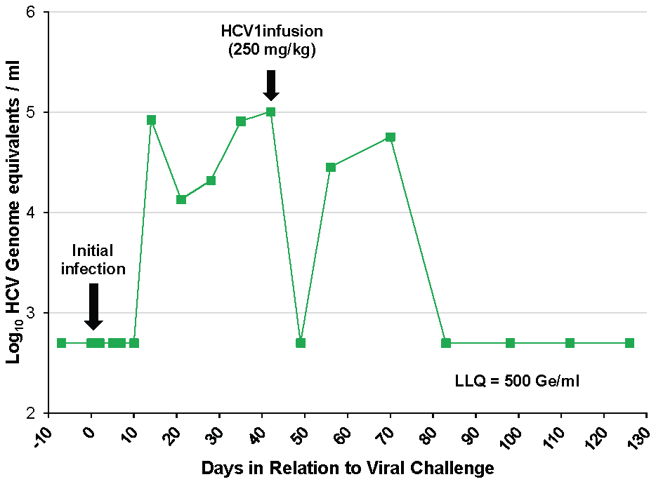 HCV1 reduces viral load to below the limit of quantification in an acutely-infected chimpanzee.