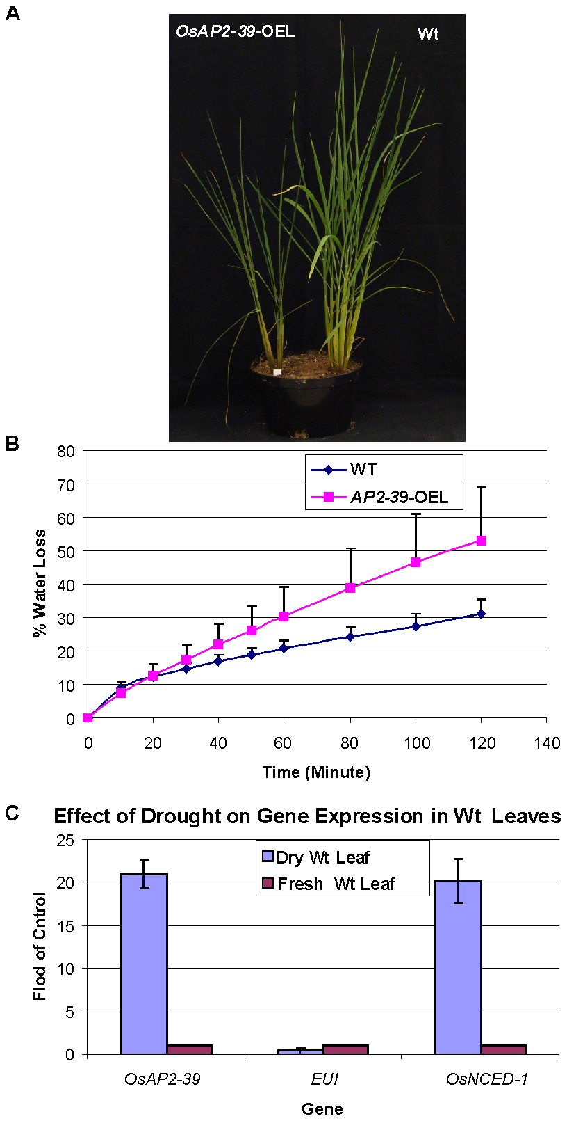 The <i>OsAP2-39</i> does not increase drought tolerance in rice.