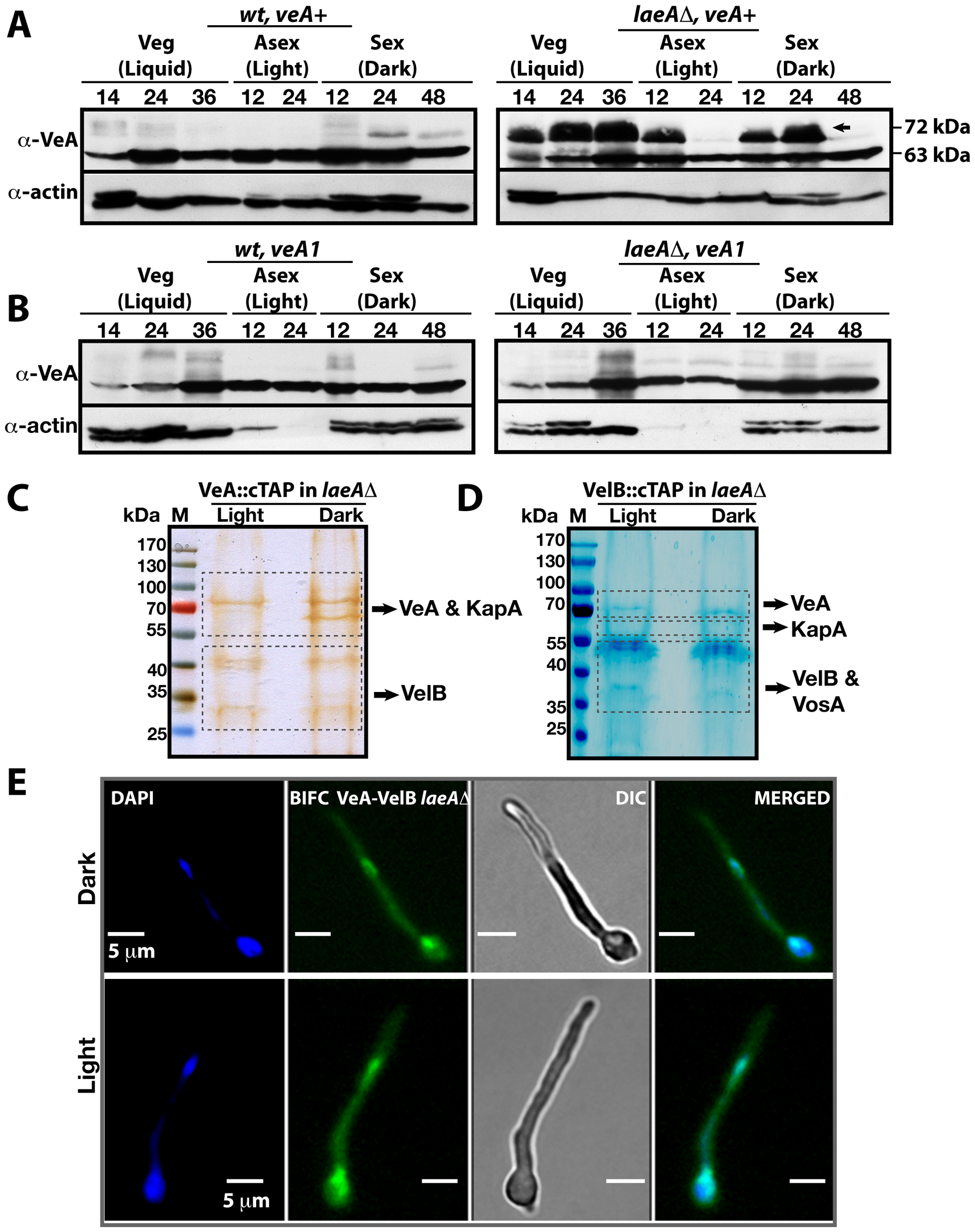 VeA-63 kDa and VeA-72 kDa protein levels in wild type and in <i>laeA</i>Δ fungal strains.