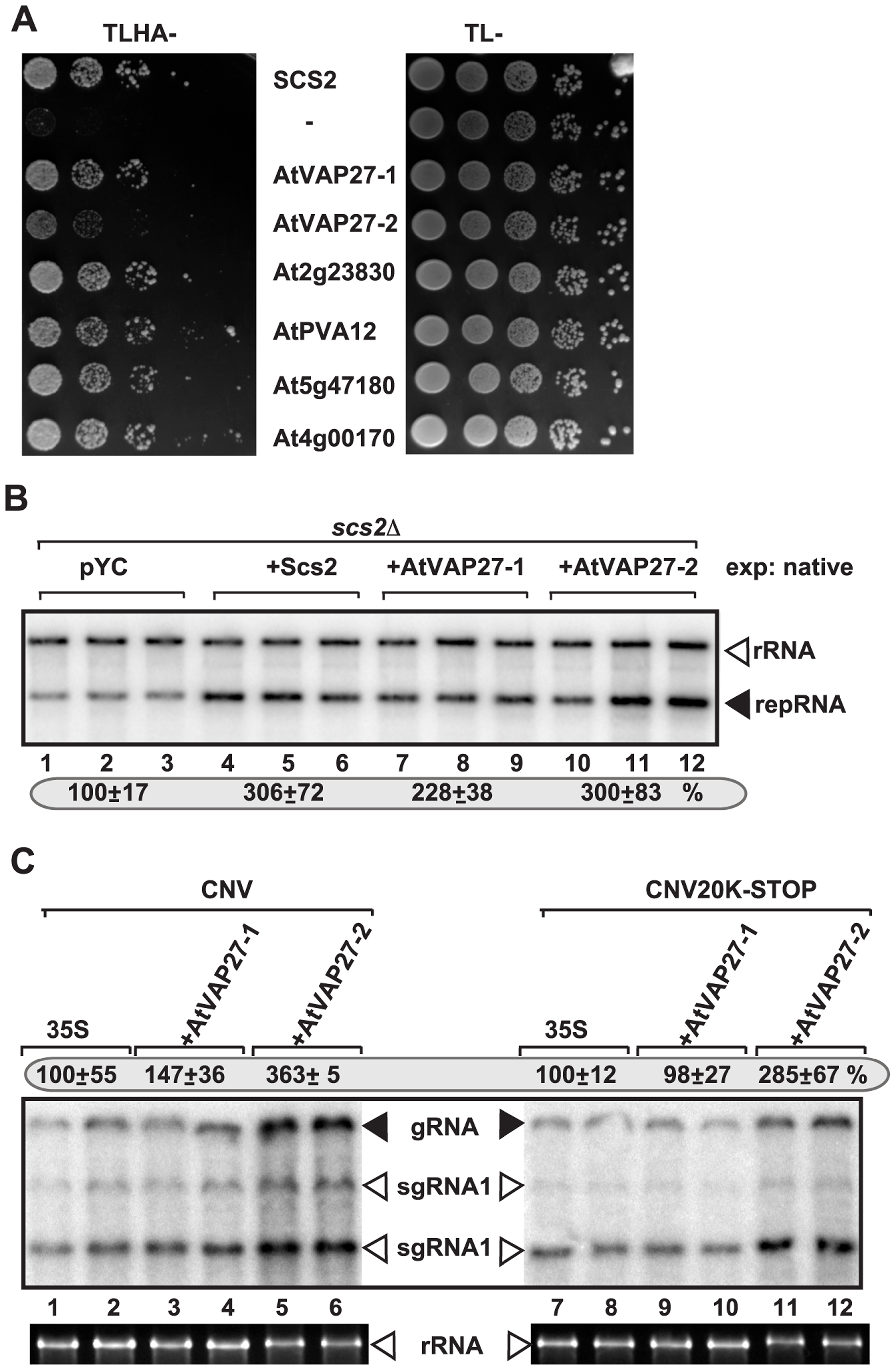 Six <i>Arabidopsis</i> VAP proteins interact with the TBSV p33 replication protein in yeast.