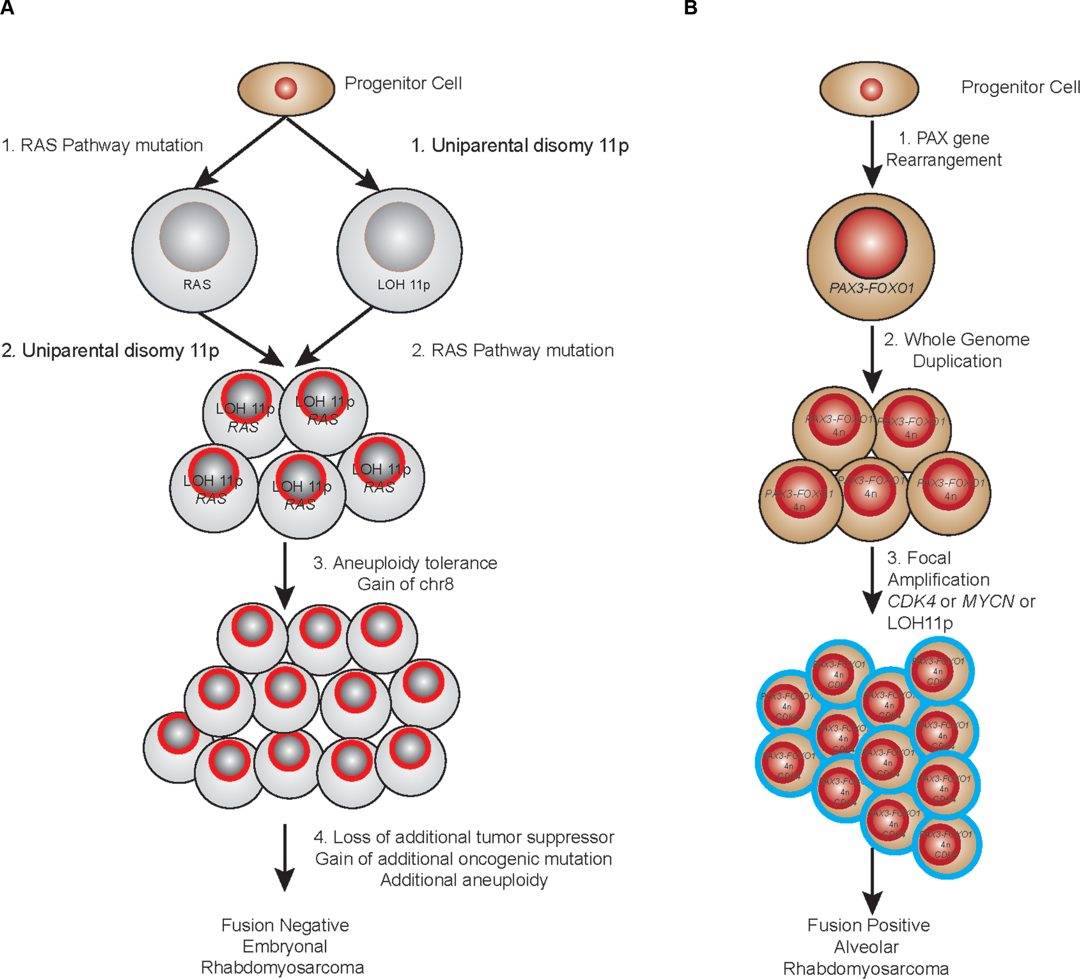 Proposed evolutionary model of rhabdomyosarcoma.
