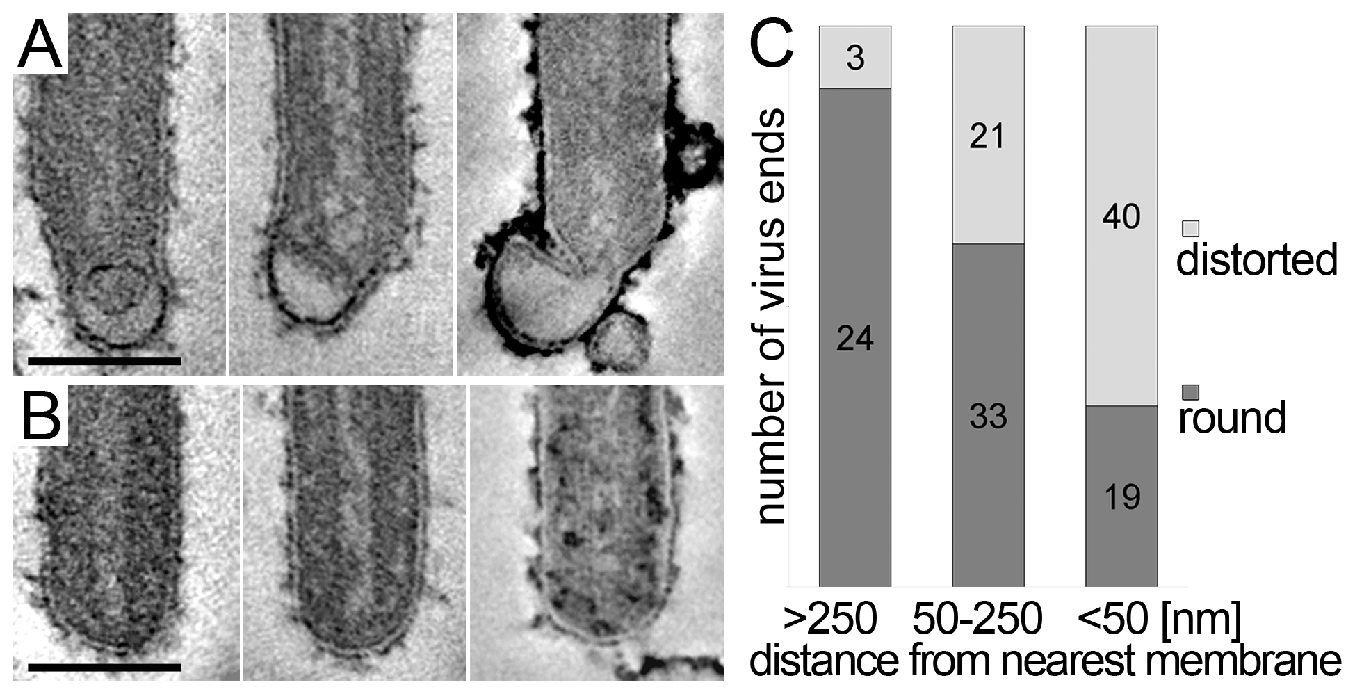 Membrane distortions are found at the rear end of filamentous MARV particles.
