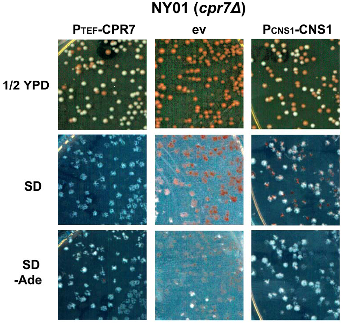 Cns1 complements Cpr7 function required for [URE3] stability.