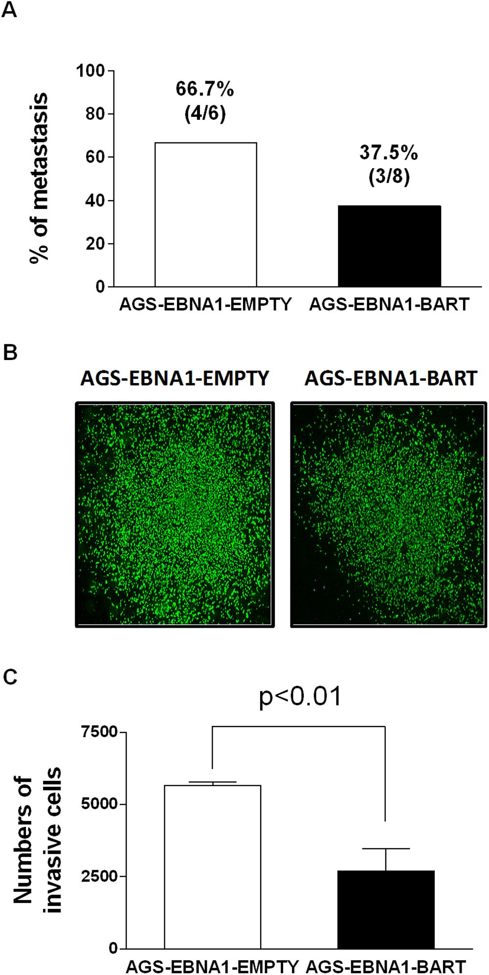 BART miRNA expression does not affect metastasis or invasion.