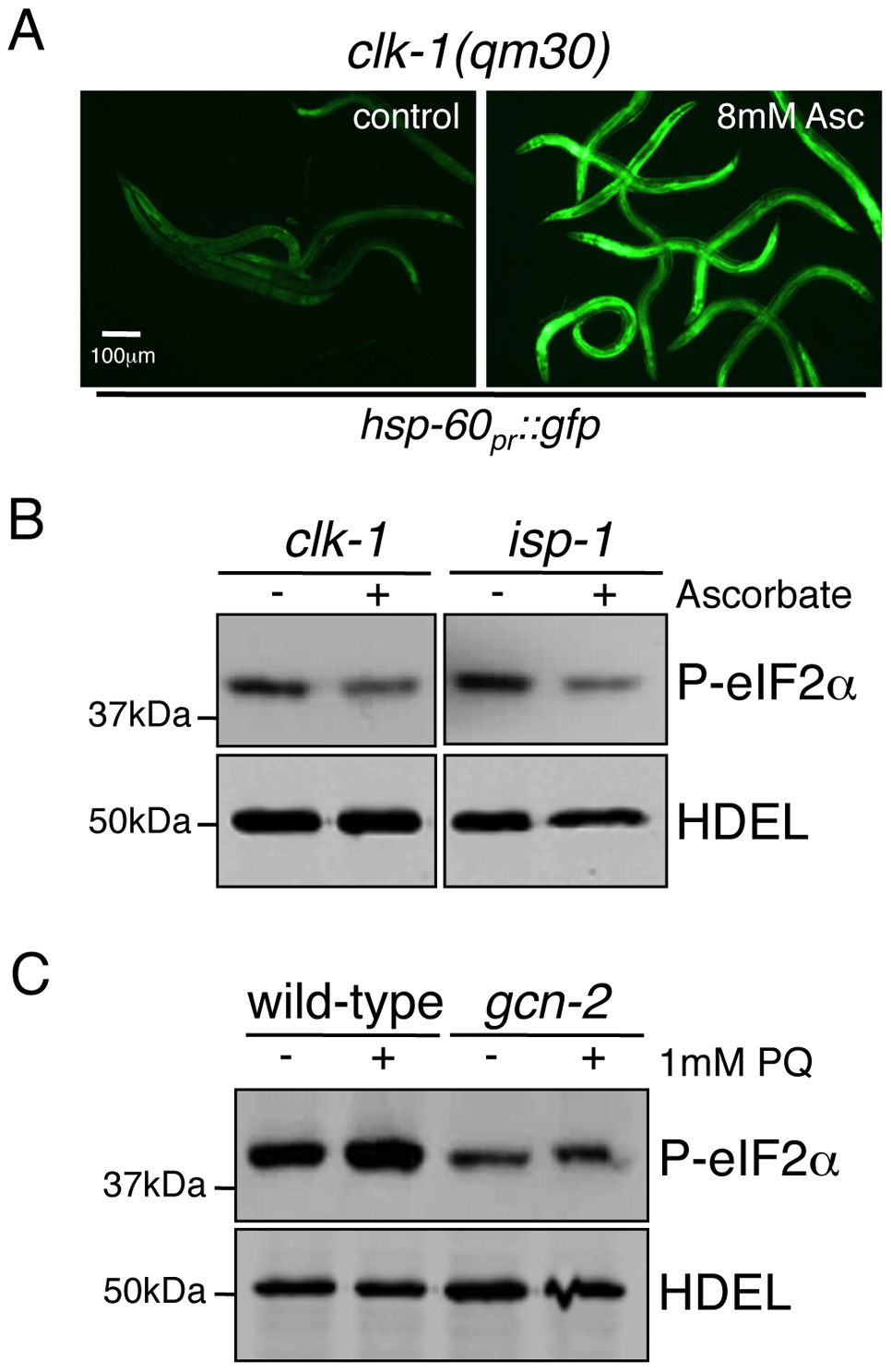 Phosphorylation of eIF2α during Mitochondrial Stress Requires ROS.