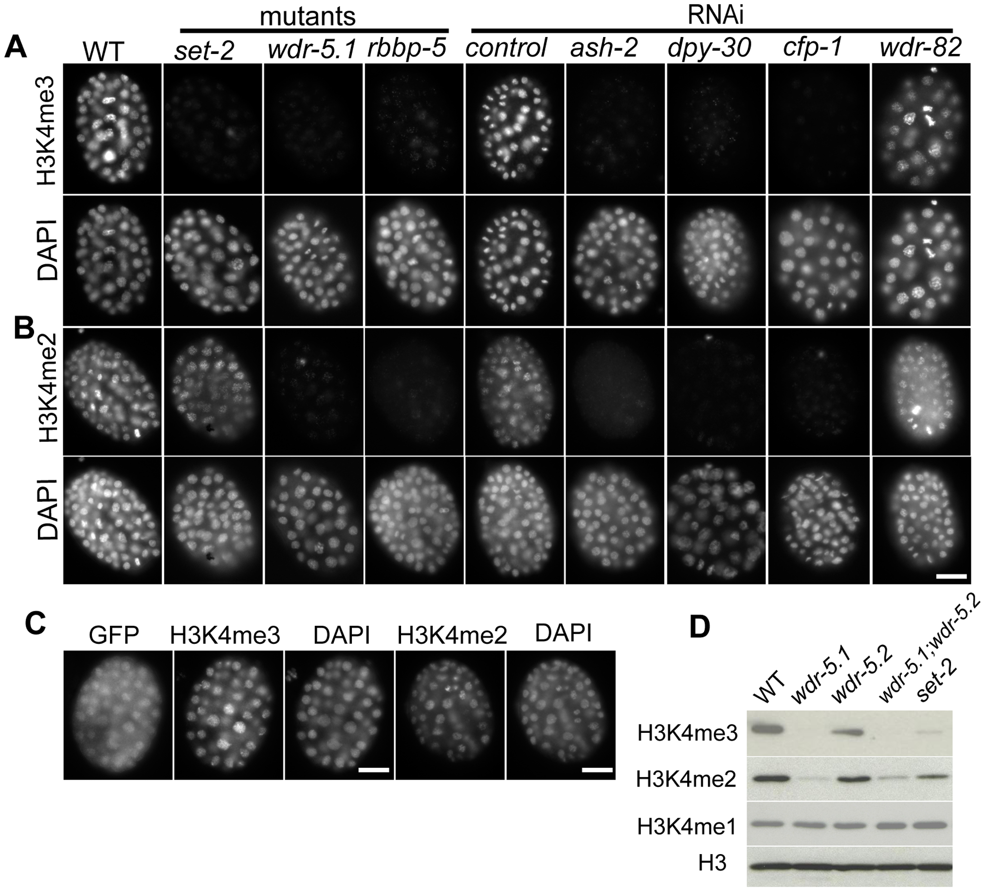 Set1/MLL complex components are largely responsible for H3K4me2/3 in embryos.