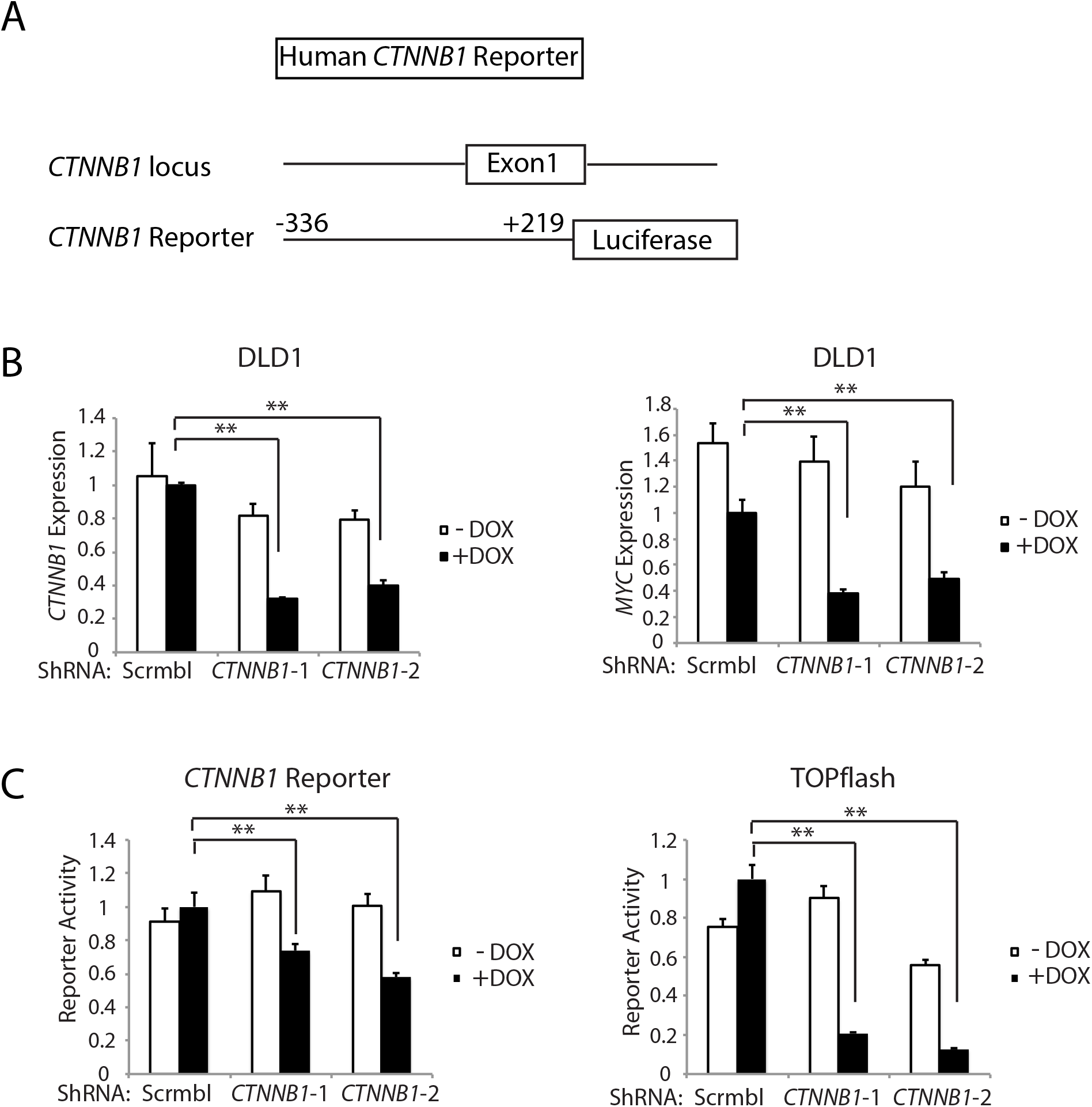Inhibition of <i>CTNNB1</i> transcript levels affects <i>MYC</i> transcript levels and <i>CTNNB1</i> reporter gene activity in human DLD1 colon cancer cells.