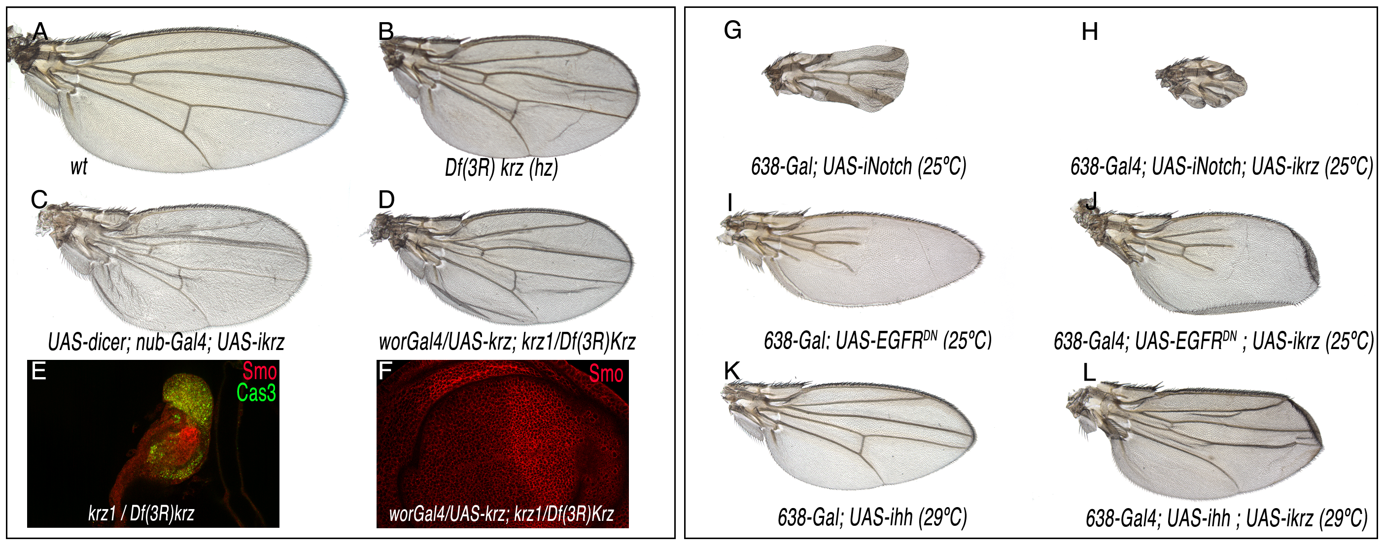 Loss-of-function phenotype of <i>krz</i> in the wing.
