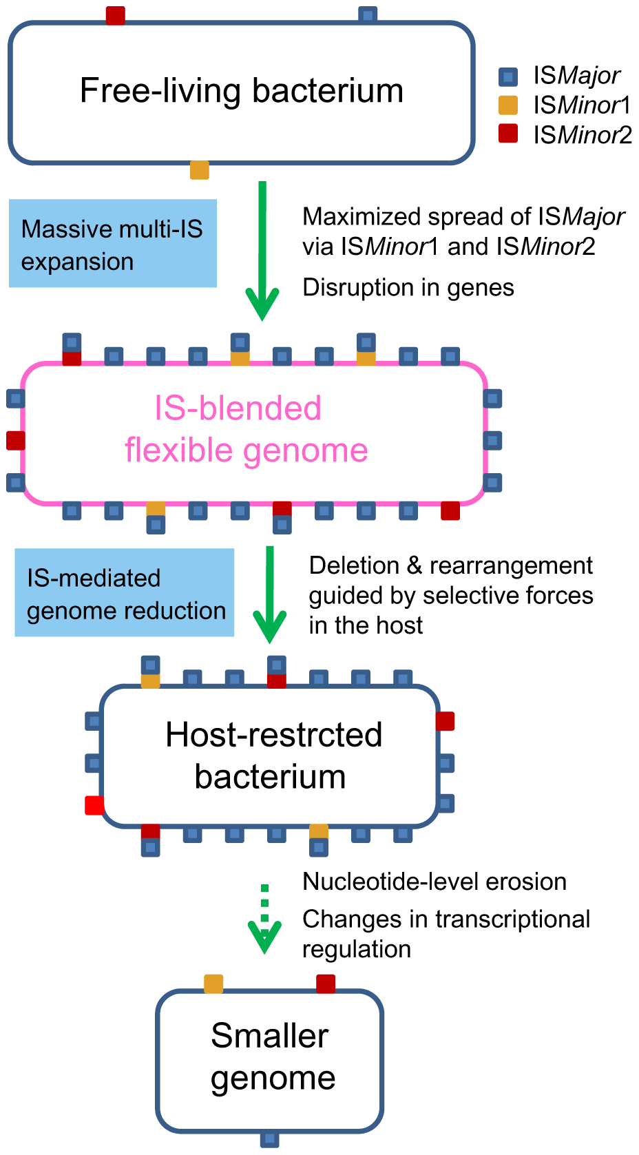 A proposed general model for the bacterial genome-reductive evolution in a specialized niche.