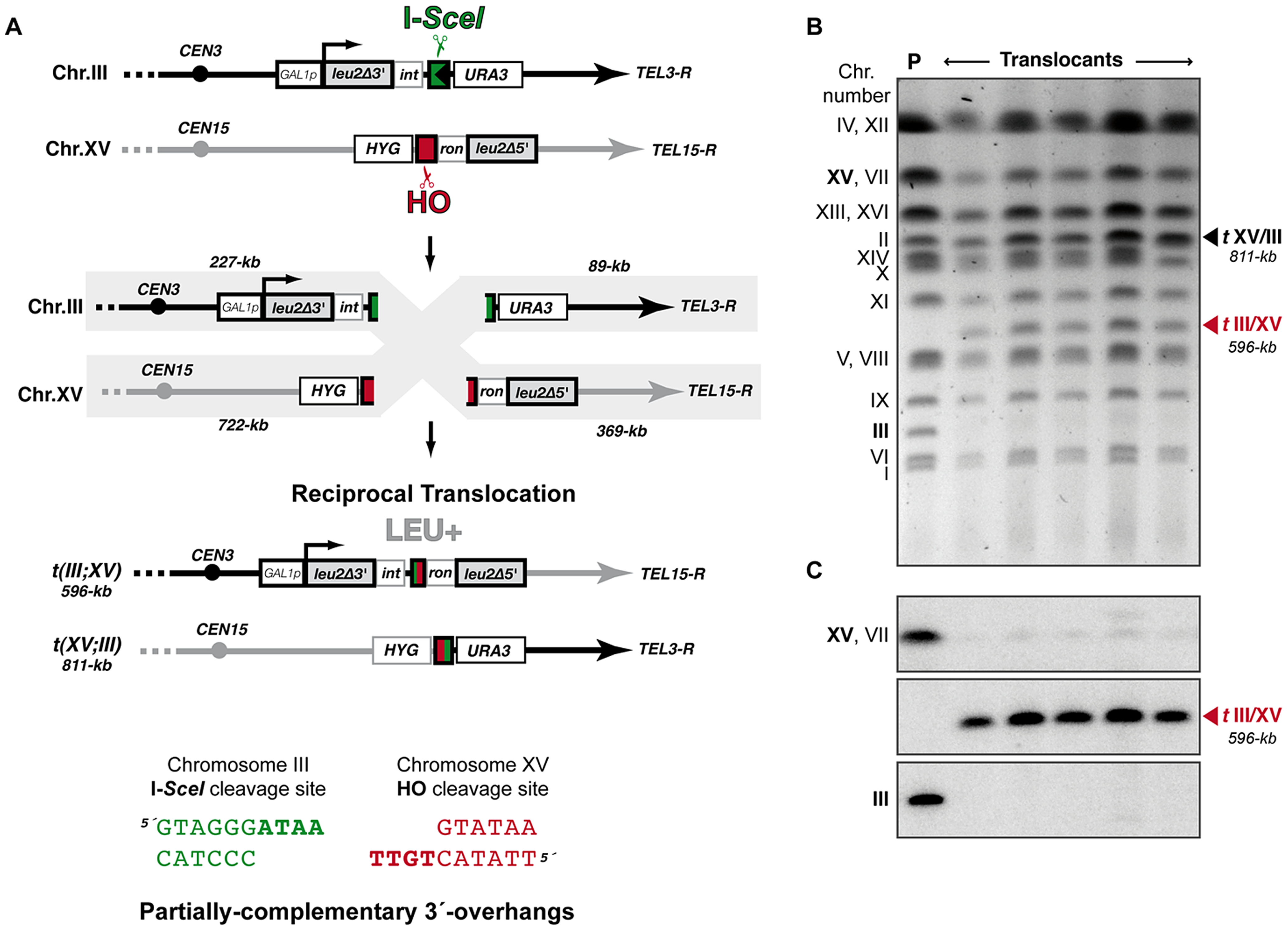 Intron-based assay to detect NHEJ-mediated chromosomal translocations in yeast.