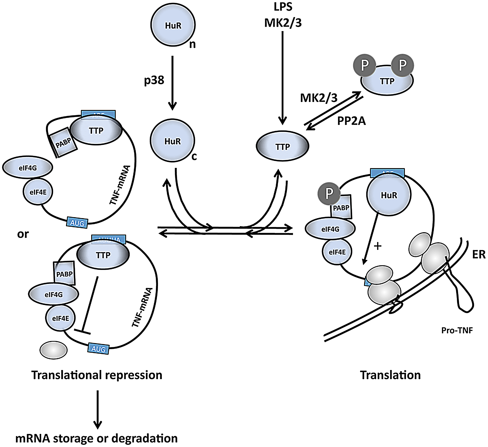 A comprehensive model of the regulation of TNF mRNA and TNF release by p38 and MK2/3.
