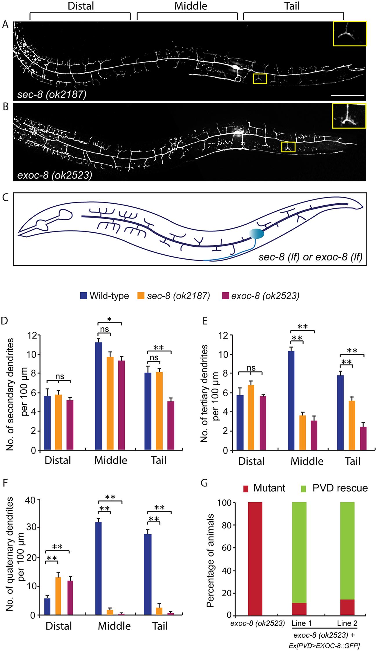 Mutations in <i>exoc-8</i> and <i>sec-8</i> reduce PVD dendritic arborization.