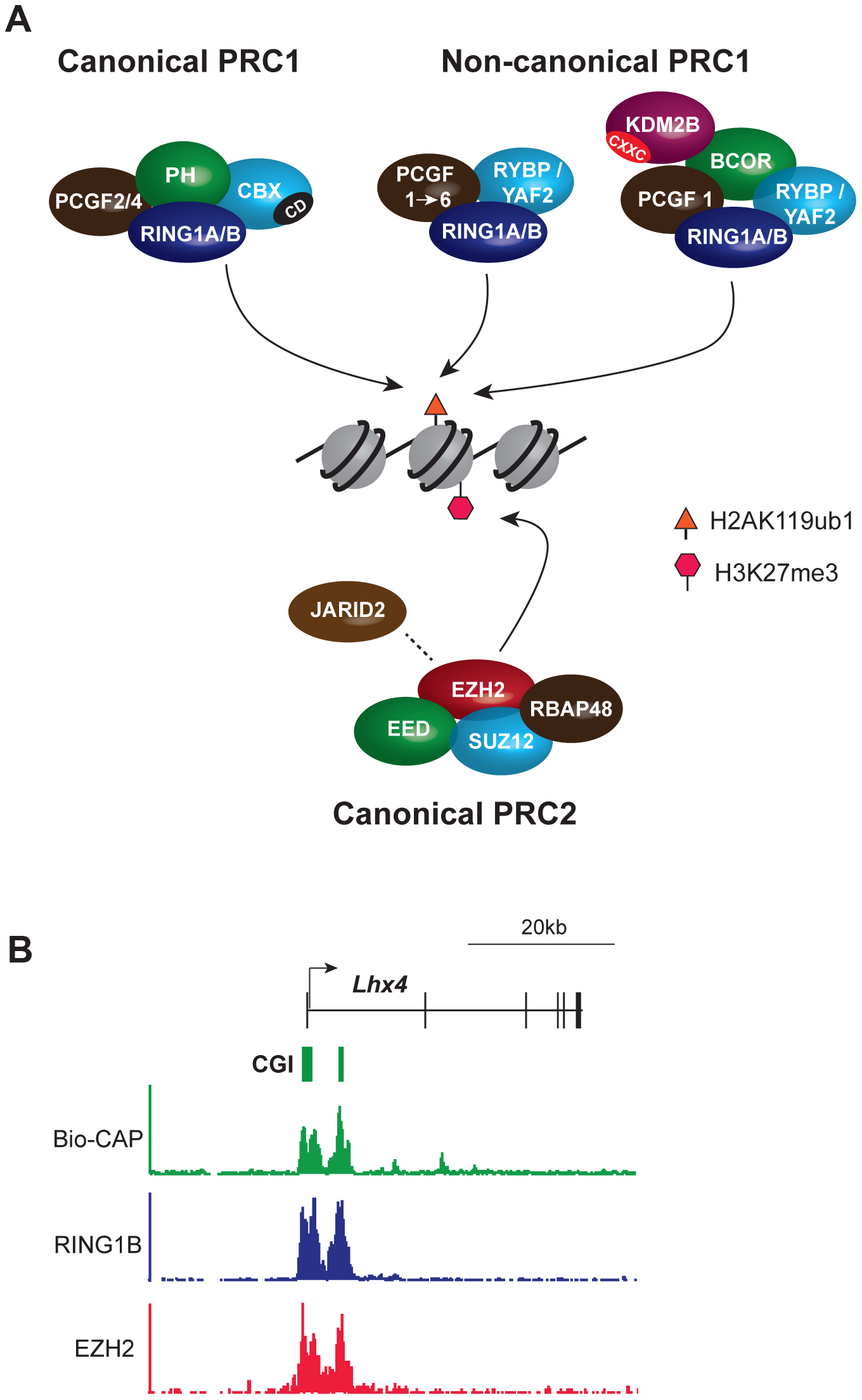 Core components of the major PcG complexes in vertebrate cells overlap with CpG islands.