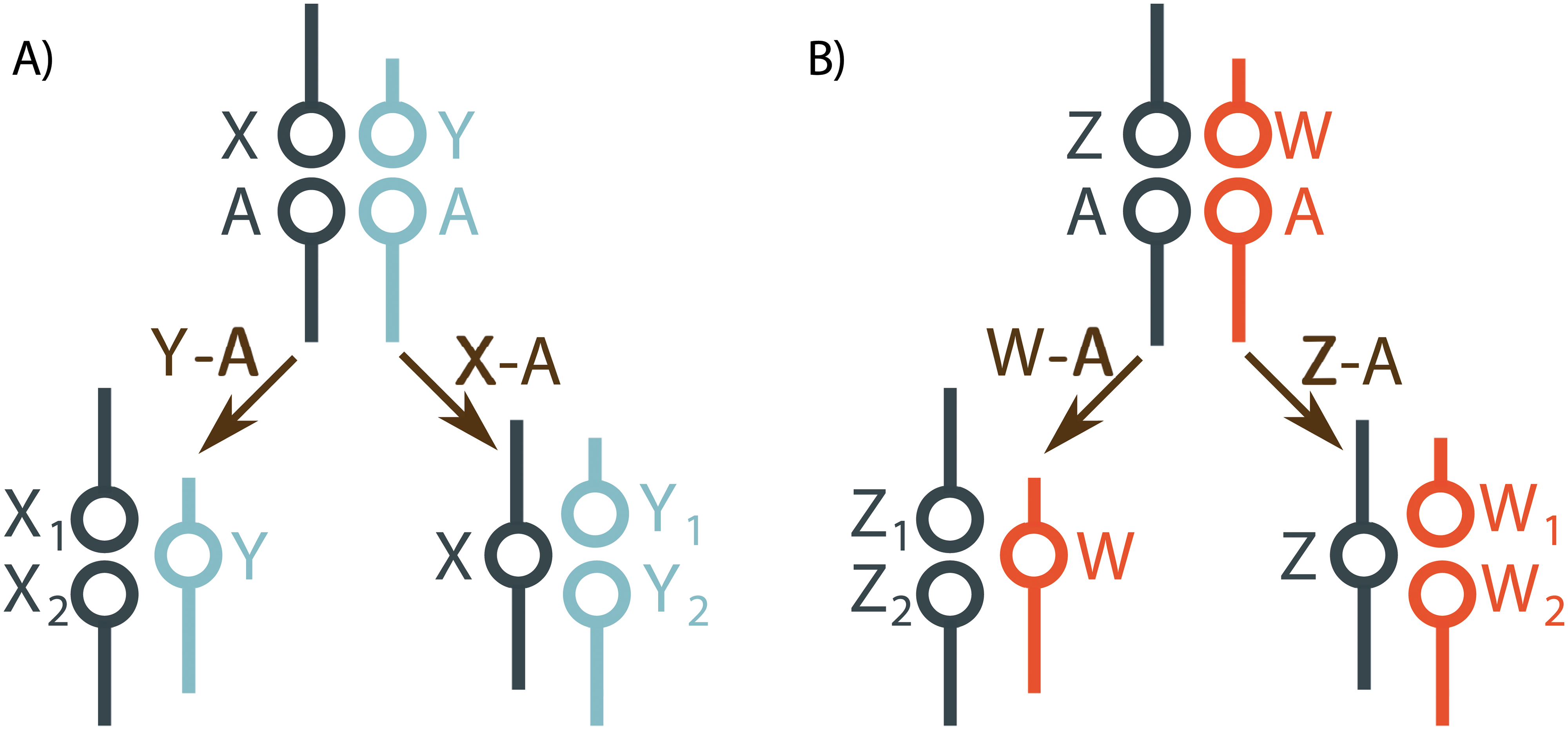 Sex chromosome-autosome fusions create multiple sex chromosome systems.