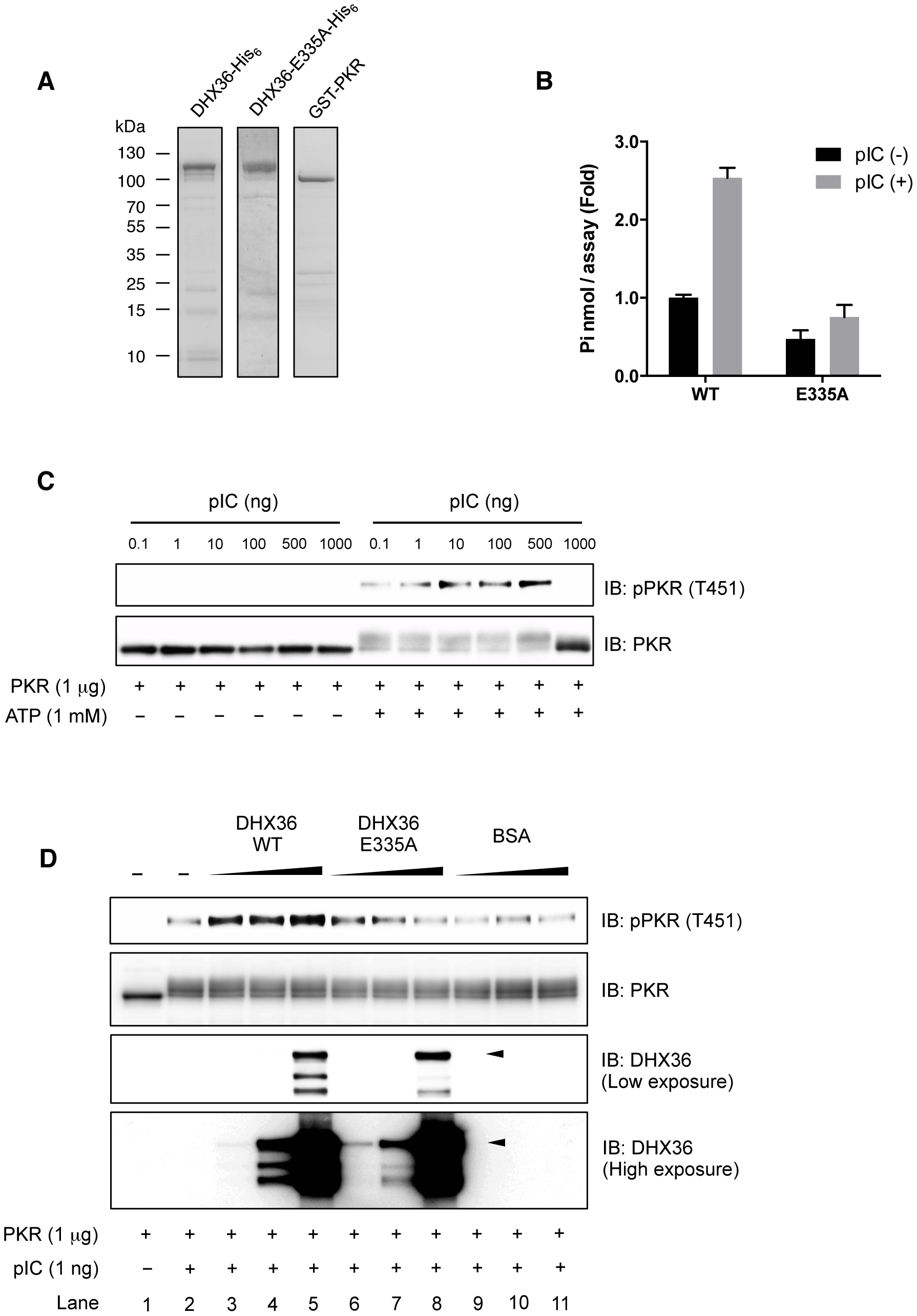 DHX36 augments PKR activation through its ATPase activity <i>in vitro</i>.