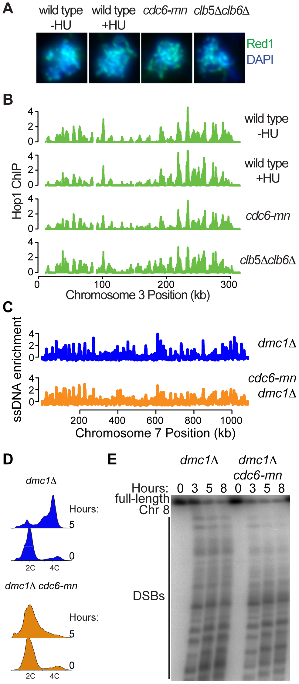 DNA replication is not required for axis association or DSB formation.