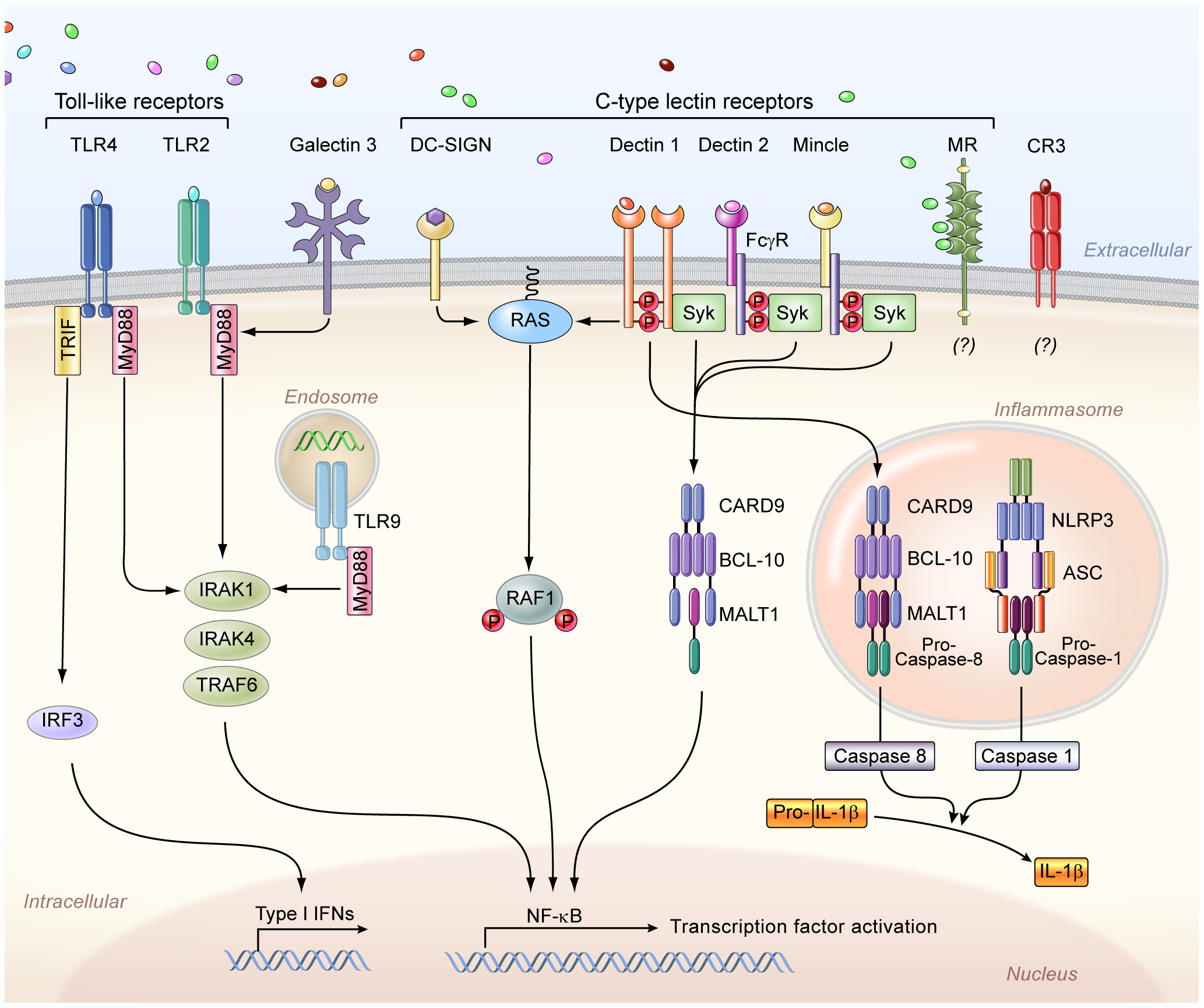 The principal cell surface pattern recognition receptors involved in <i>Candida</i> recognition.