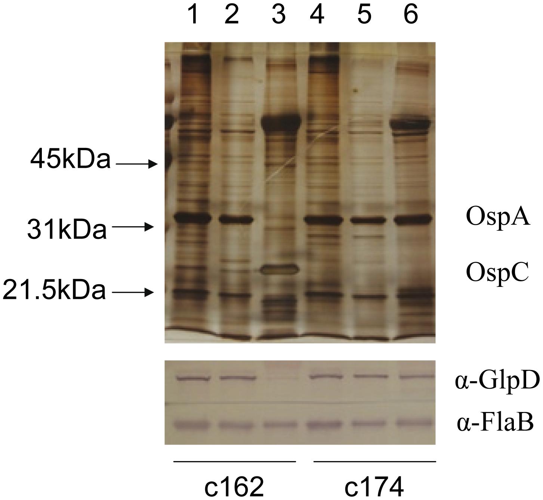 Repression of GlpD expression requires RpoS.