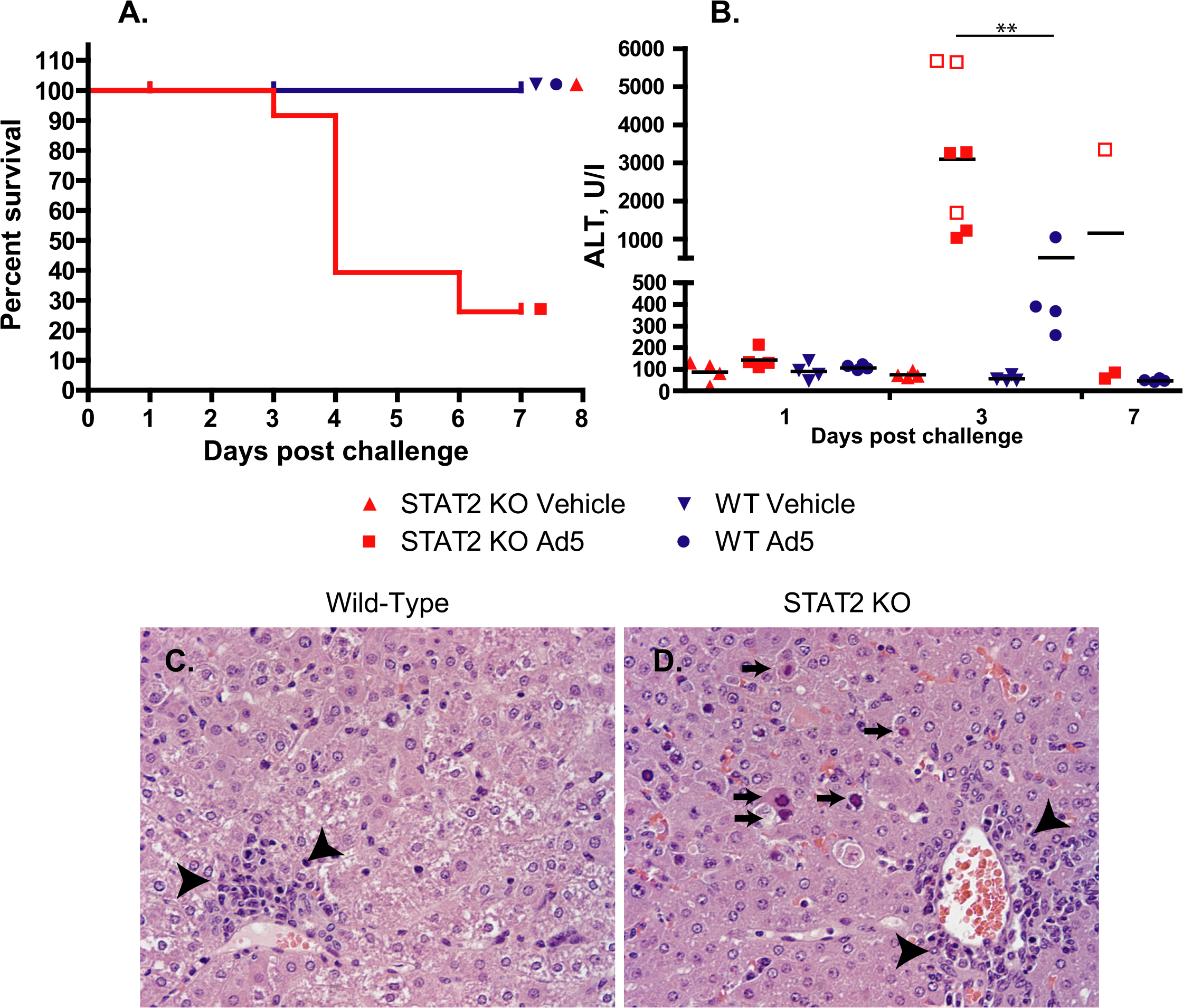 Ad5 infection causes increased pathology with STAT2 KO hamsters compared to wt ones.