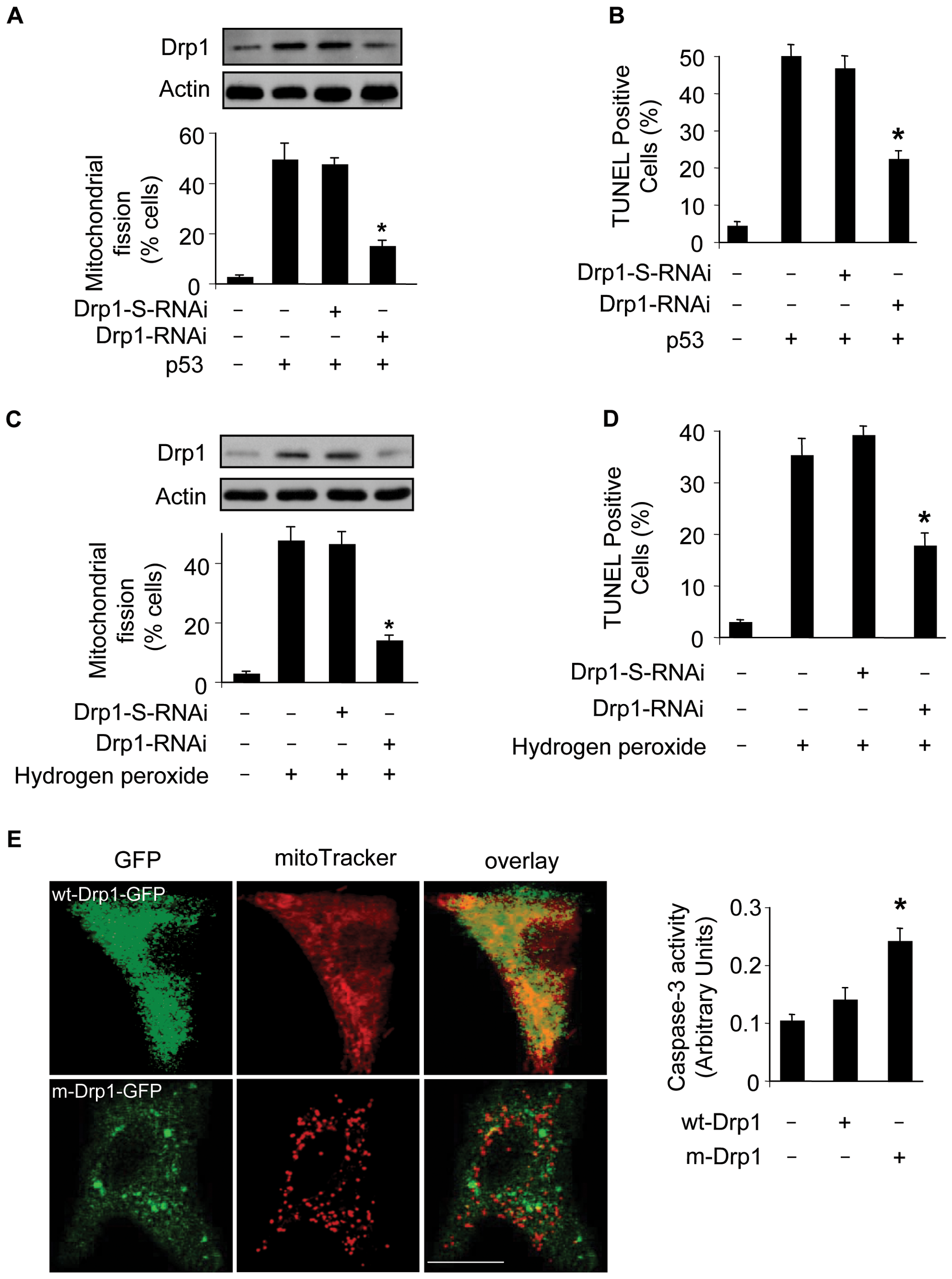 Drp1 is required for p53 to trigger mitochondrial fission.