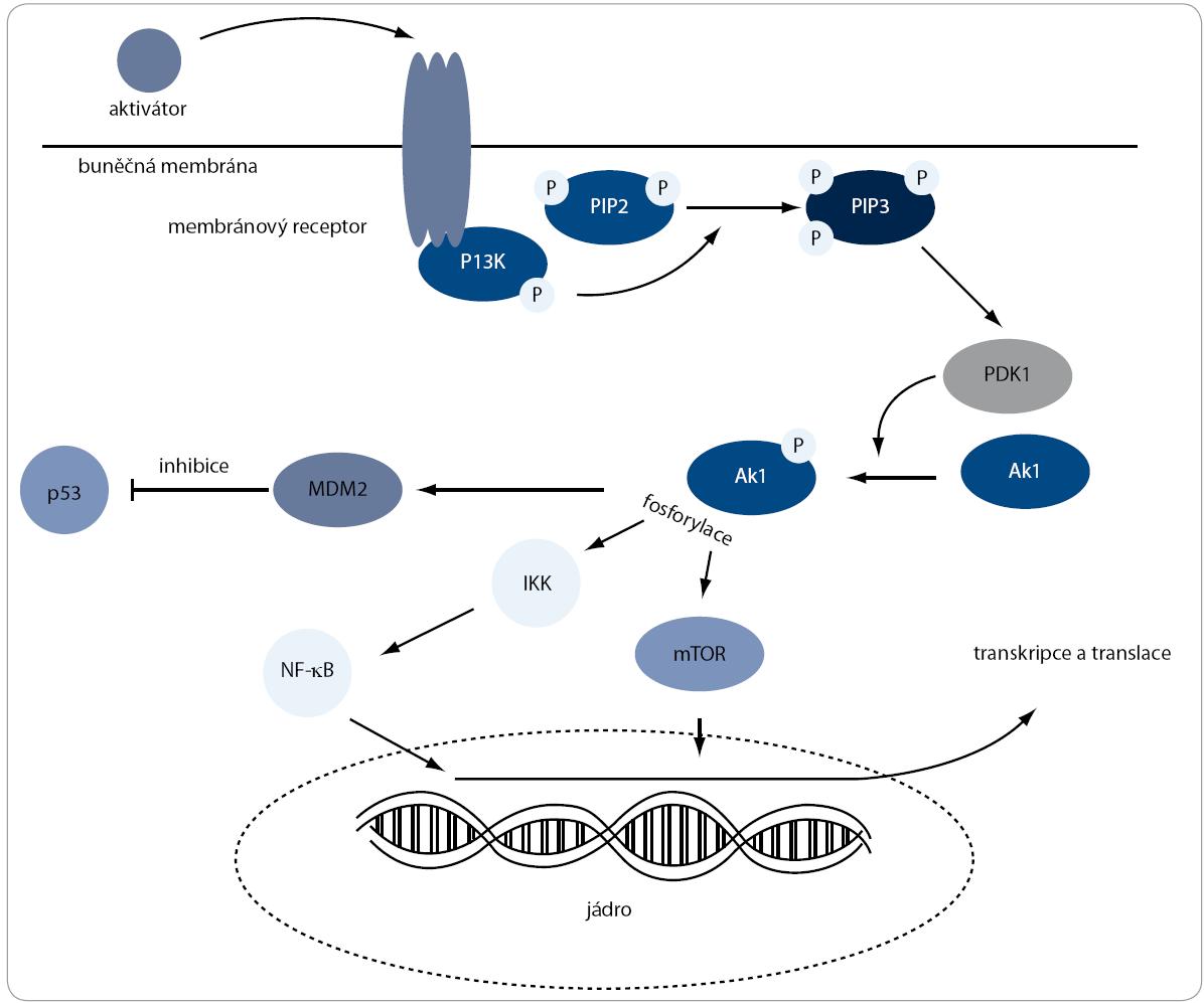 Pl3K/Akt signální dráha. Aktivace této dráhy je zahájena na cytoplazmatické membráně, kde PI3K fosforyluje PIP2 na PIP3. Ten následně naváže kinázu Akt k membráně, kde dochází k její fosforylaci pomocí PDK1. Po těchto dvou fosforylacích Akt zaujme aktivní konformaci a pokračuje ve fosforylování proteinů, které jsou zapojené v různých buněčných procesech, jako jsou stimulace proliferace nebo inhibice apoptózy.
