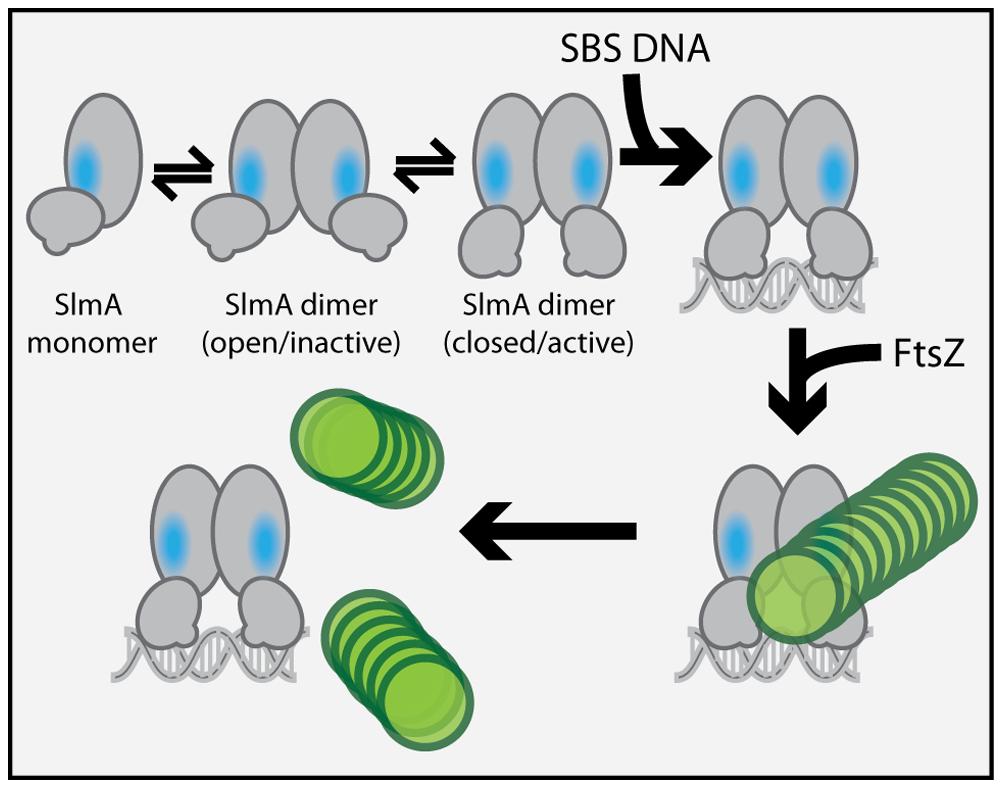 Model for SlmA activation.