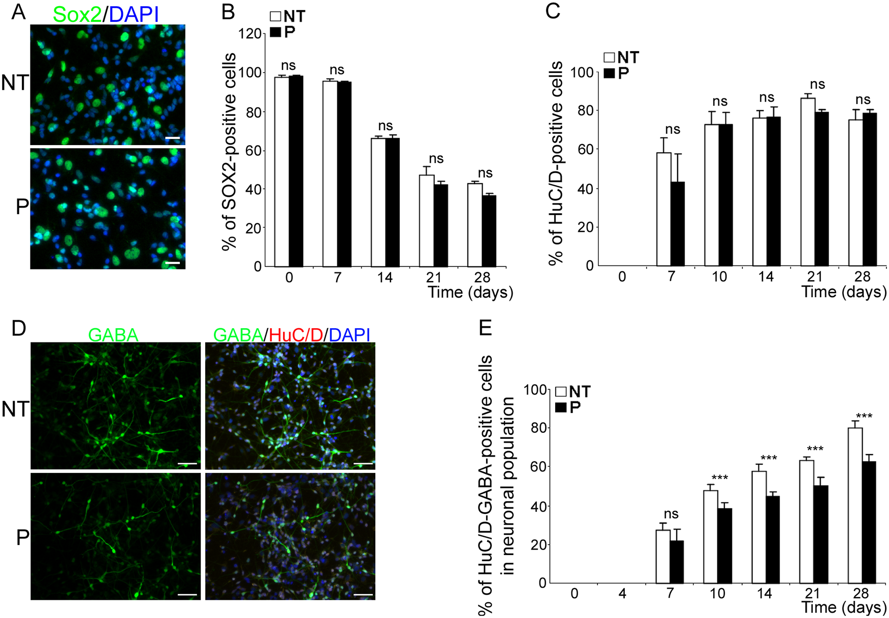 <i>bdv-p</i> expression does not alter neuronal specification but induces a reduction in the GABAergic subpopulation.