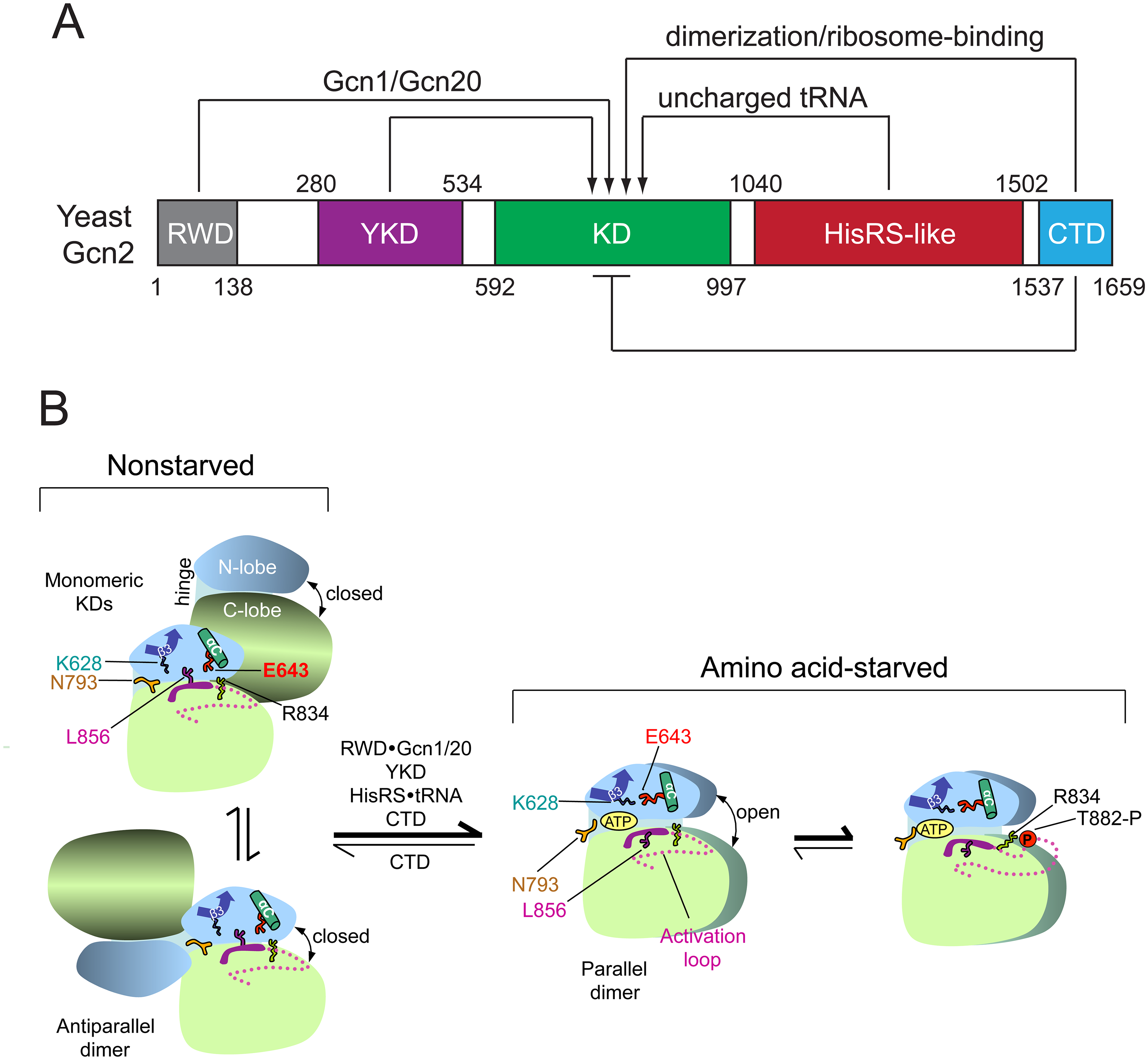 Summary of domain interactions in Gcn2 that couple binding of uncharged tRNA to activation of kinase function in starved cells.