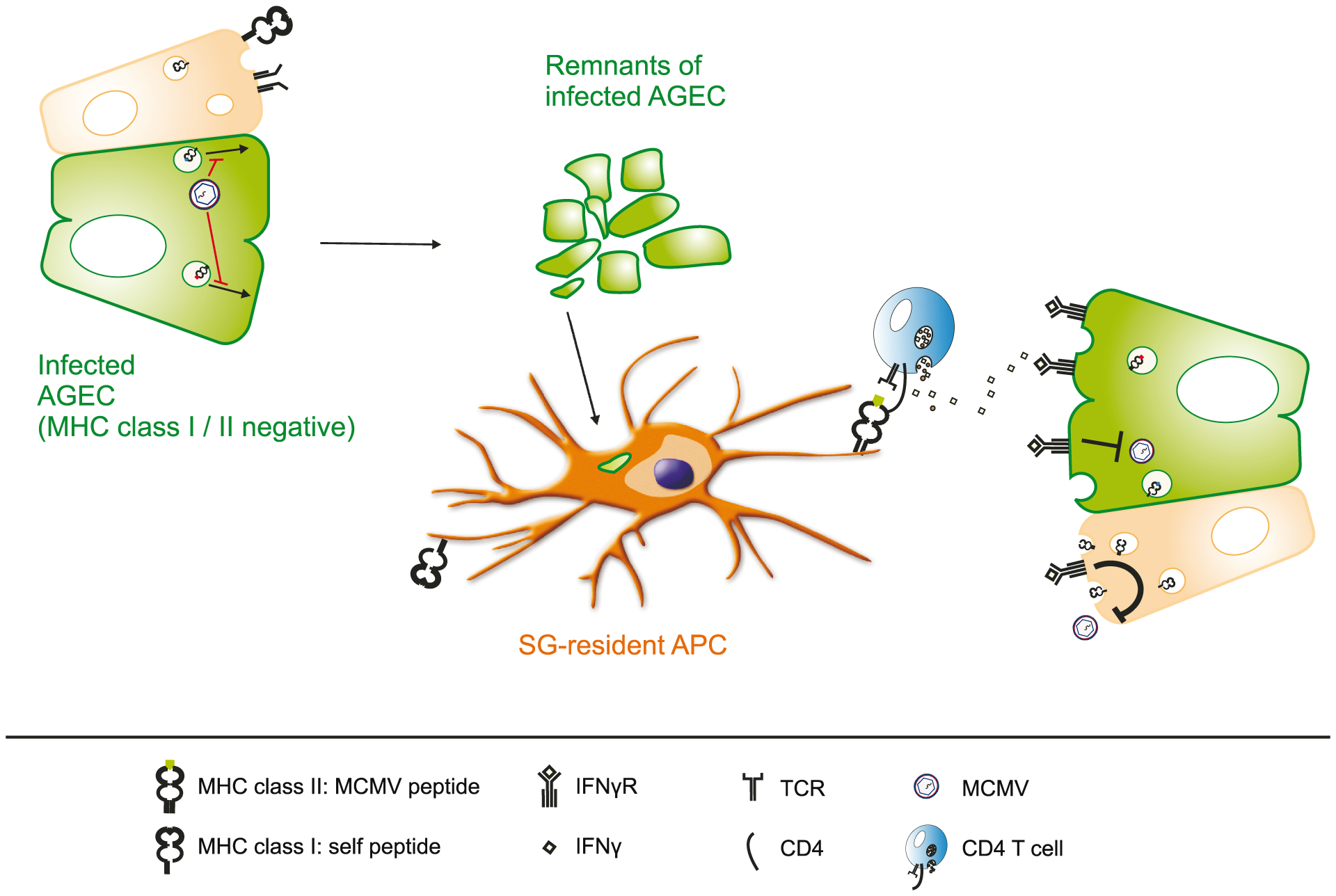 Virus-specific CD4 but not CD8 T cells control MCMV replication in the salivary gland.
