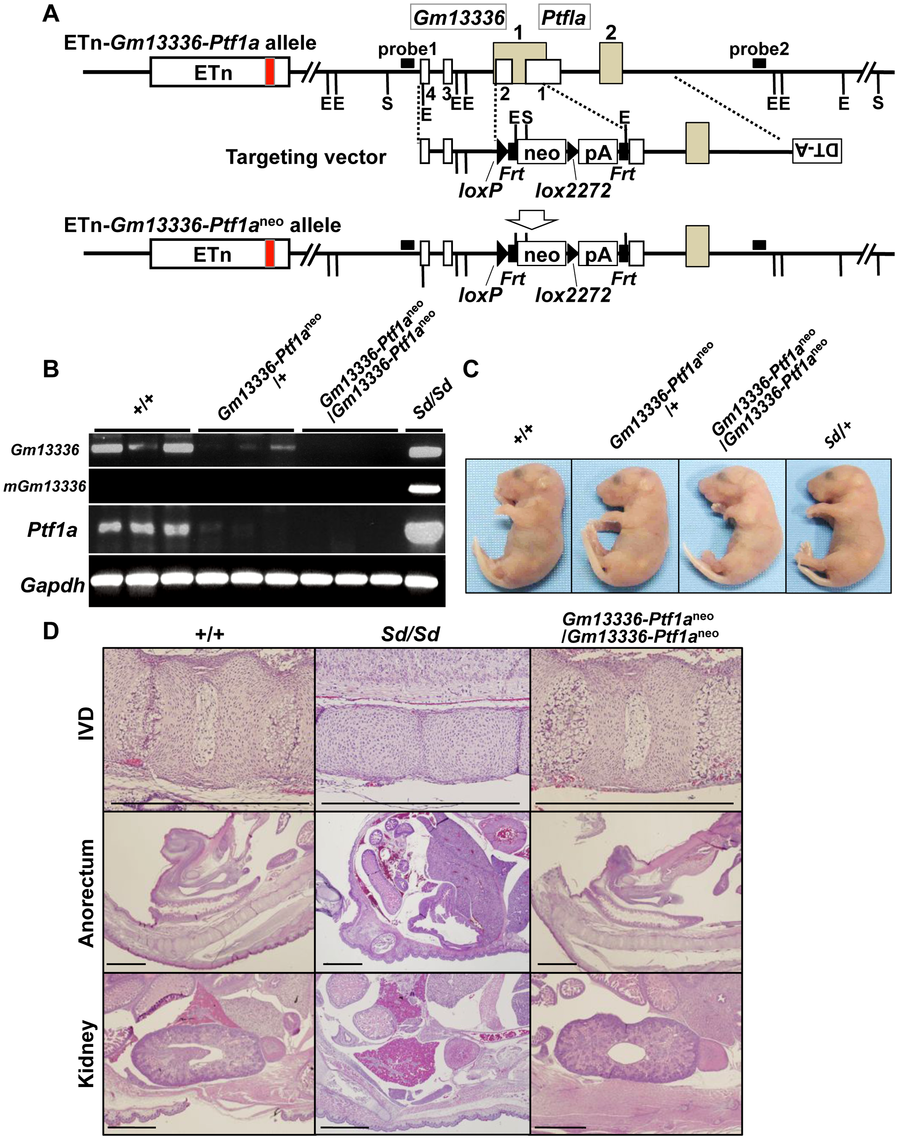Phenotypic rescue by disruption of the <i>Gm13336-Ptf1a</i> gene.