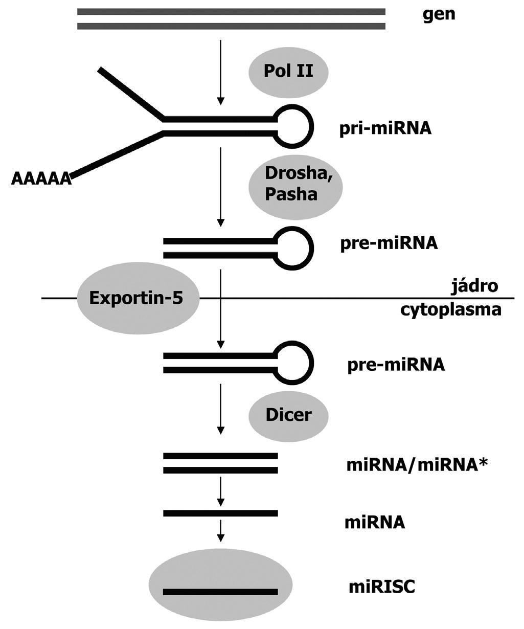 Mechanismus biogeneze miRNA